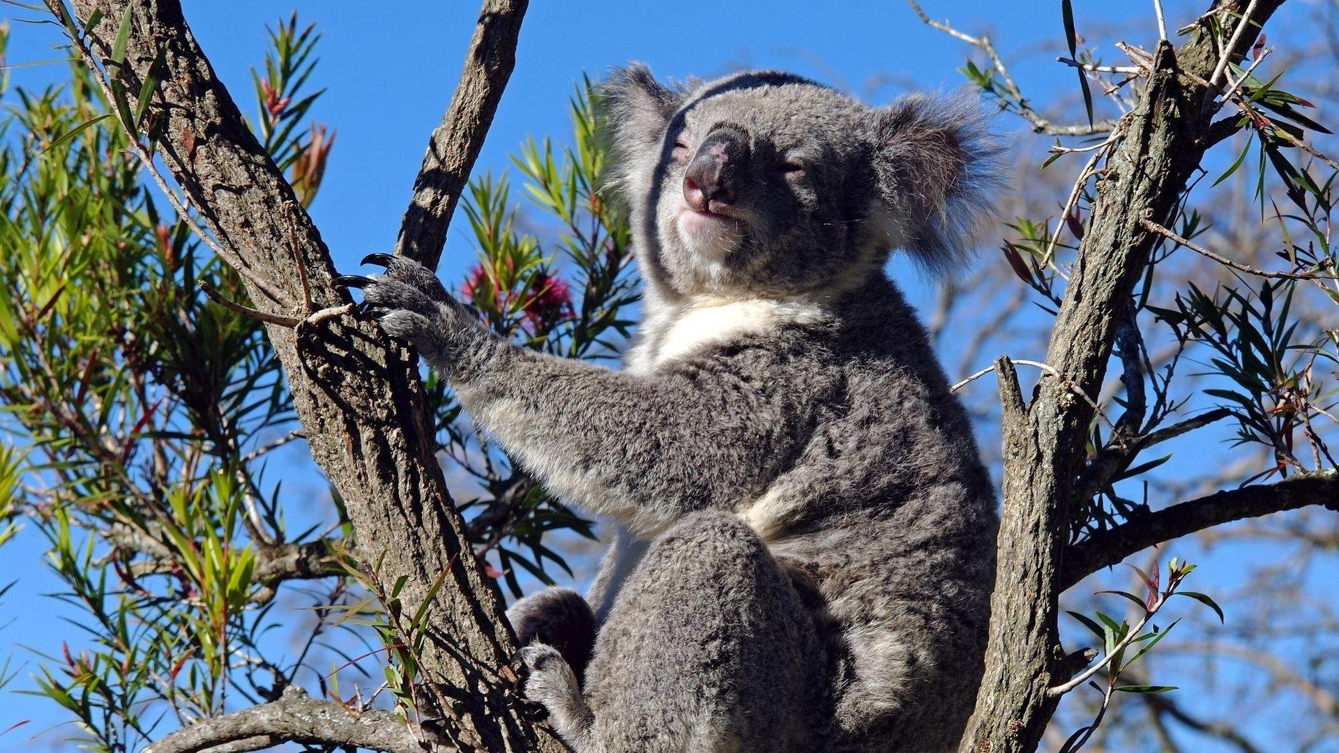 Koala On The Tree