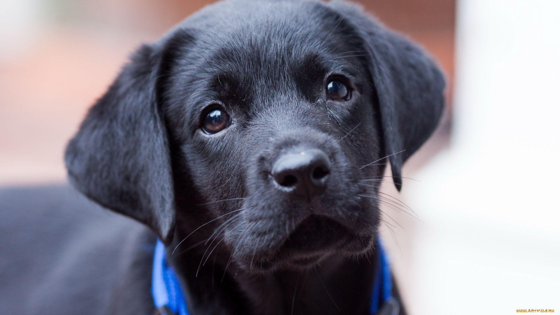 Labrador Black Puppy