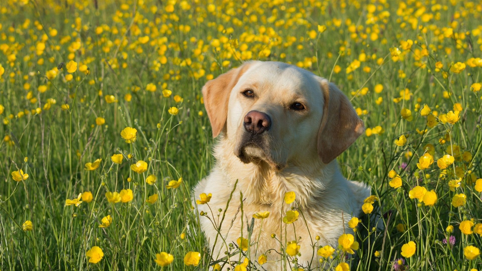 Labrador In The Grass Pictures