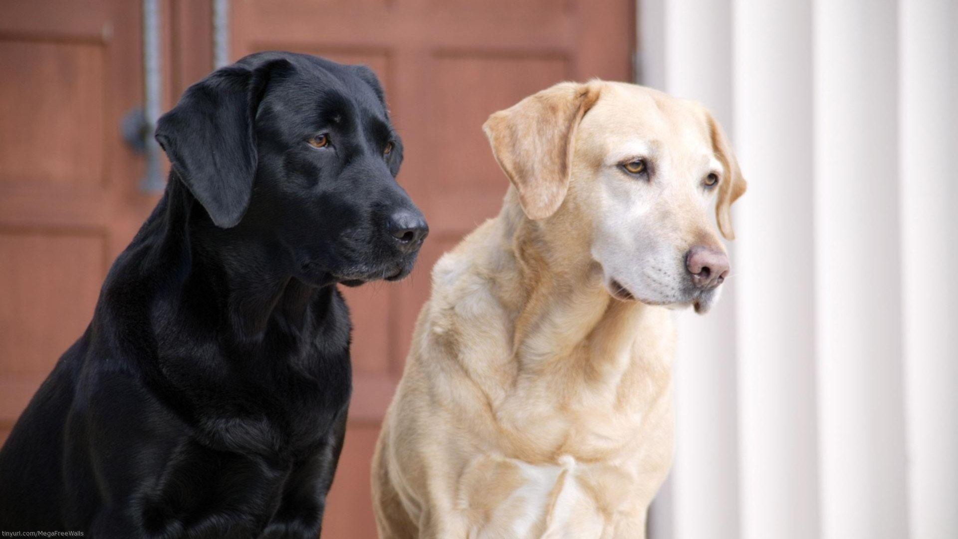 Labrador Photos In High Quality