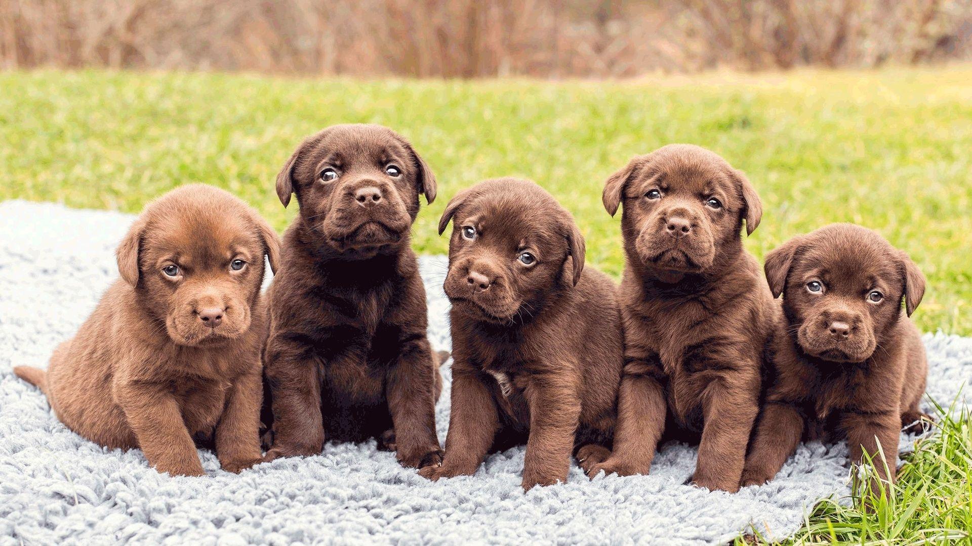 Labrador Puppies Photo