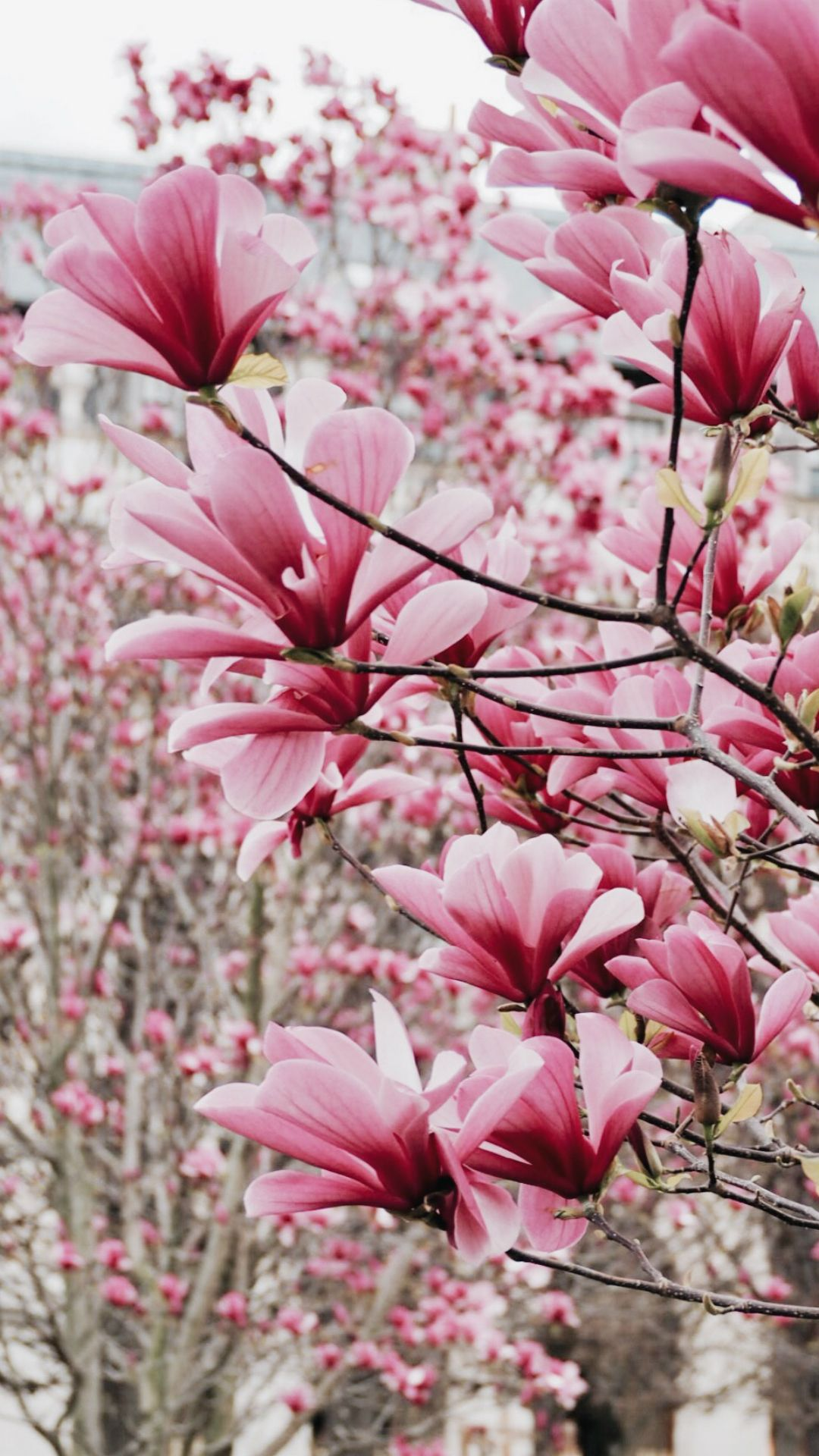 Magnolia Wallpaper For Iphone