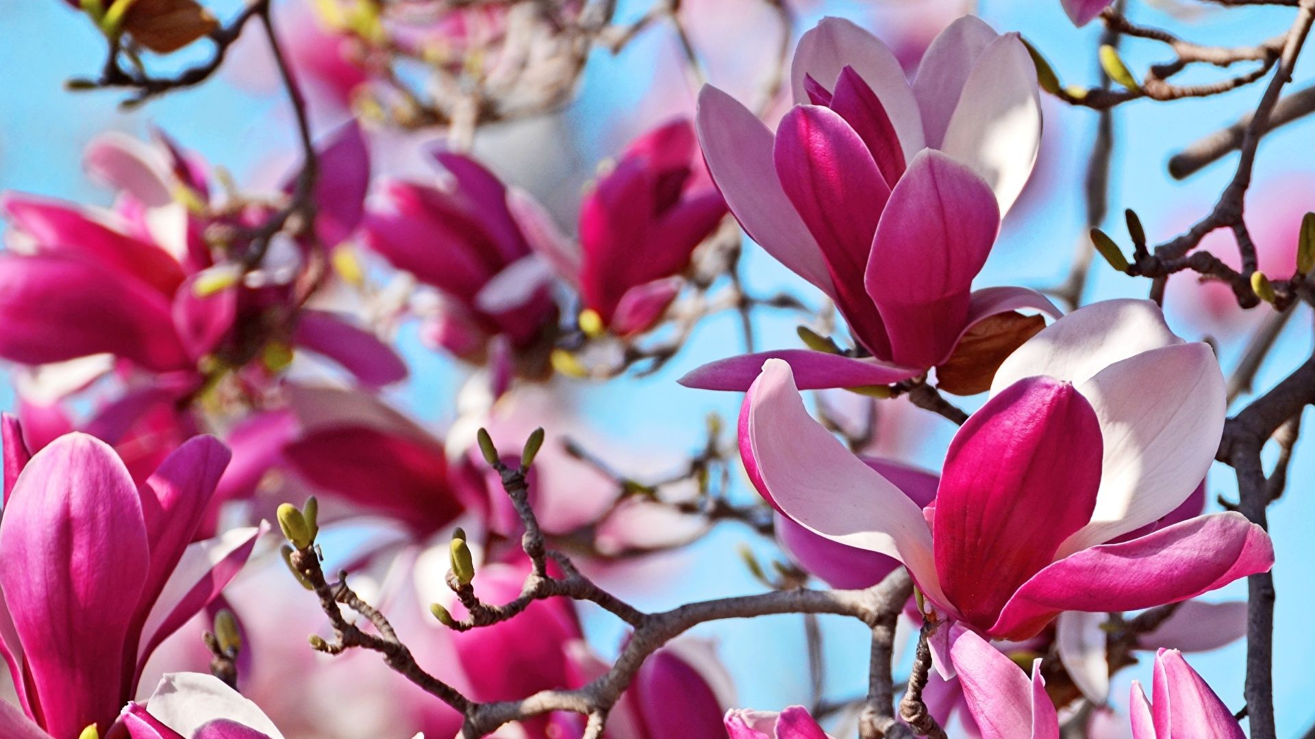 Magnolia Flowers Pictures