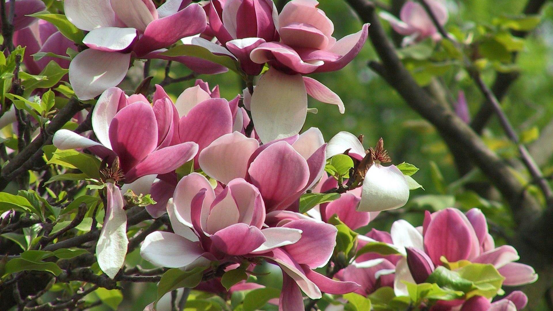 Magnolia Pictures