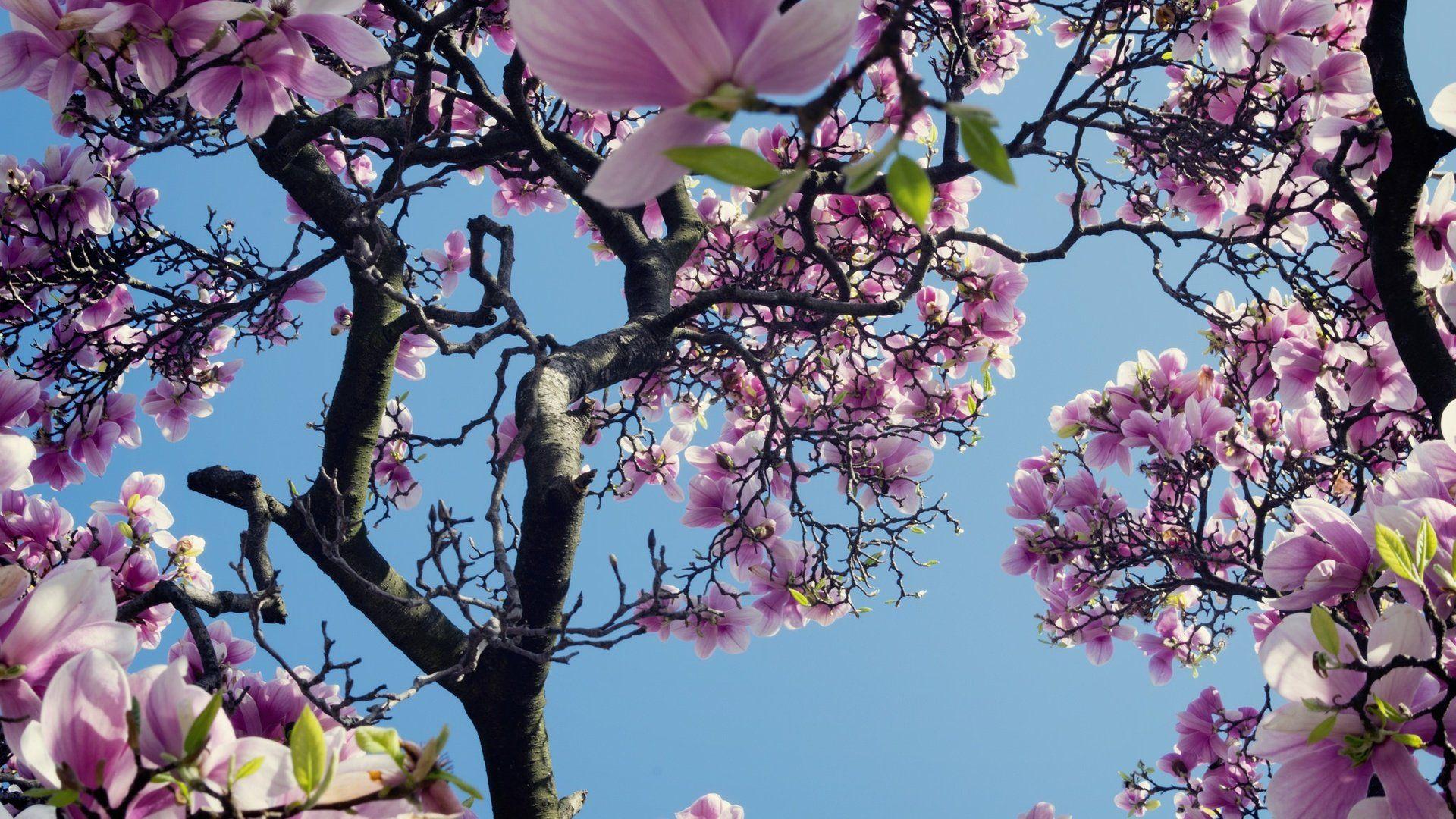 Magnolia Tree Sky