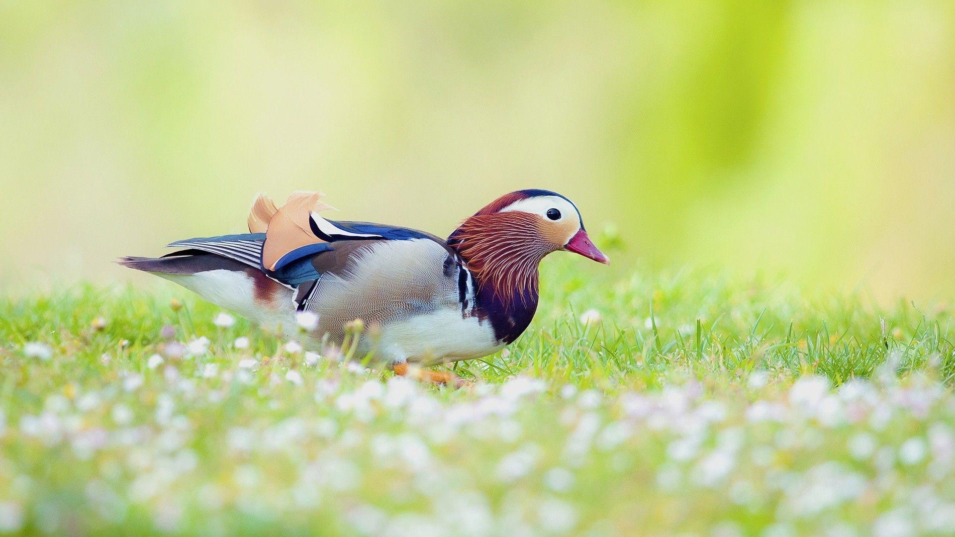 Mandarin Ducks Wallpaper
