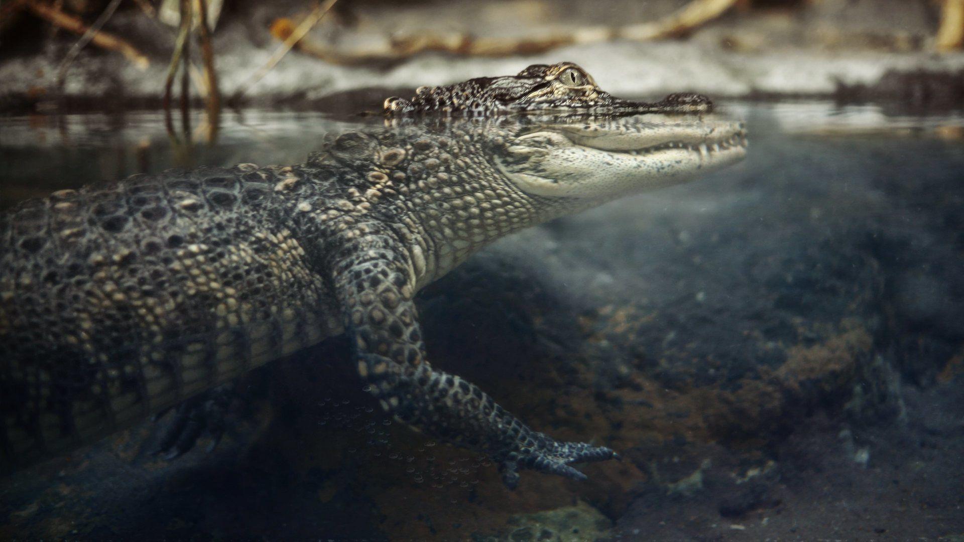 Nile Crocodile Photos