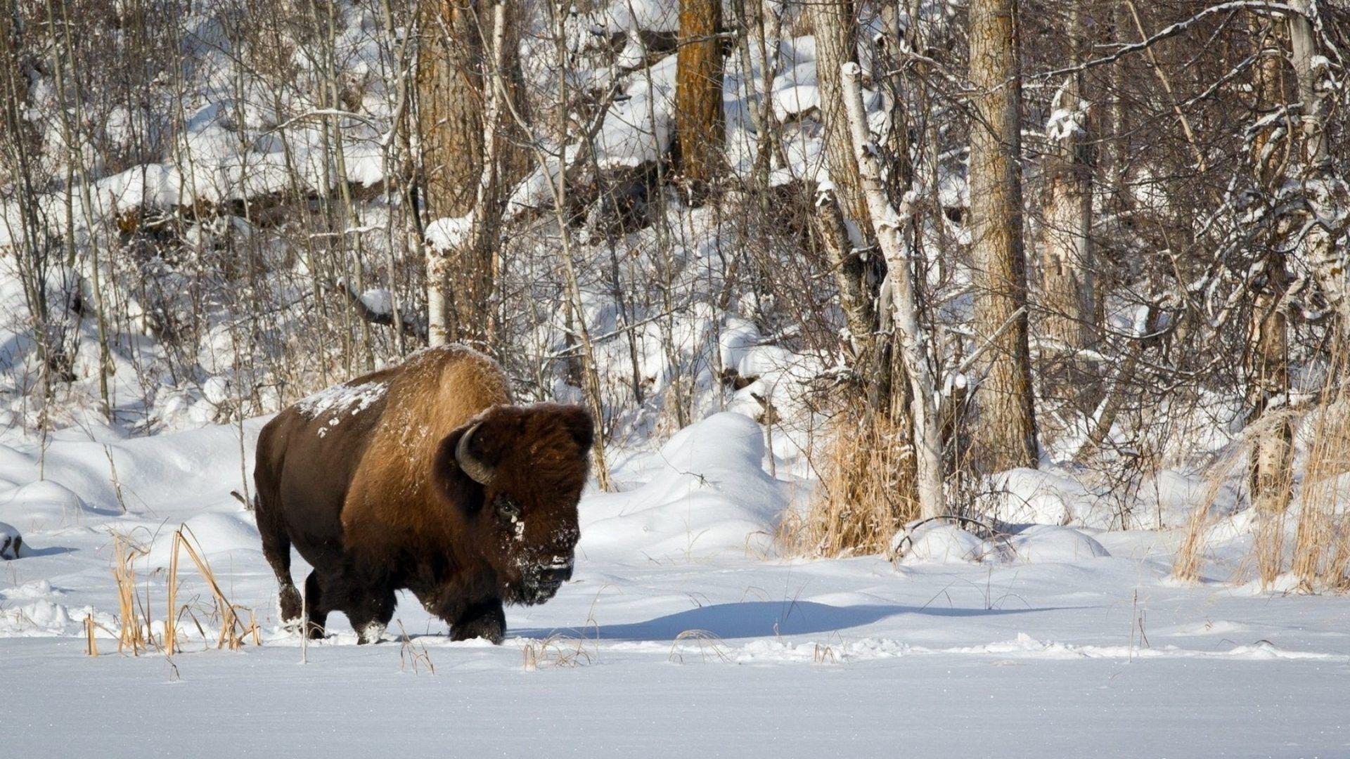 Okskiy Reserve Bison
