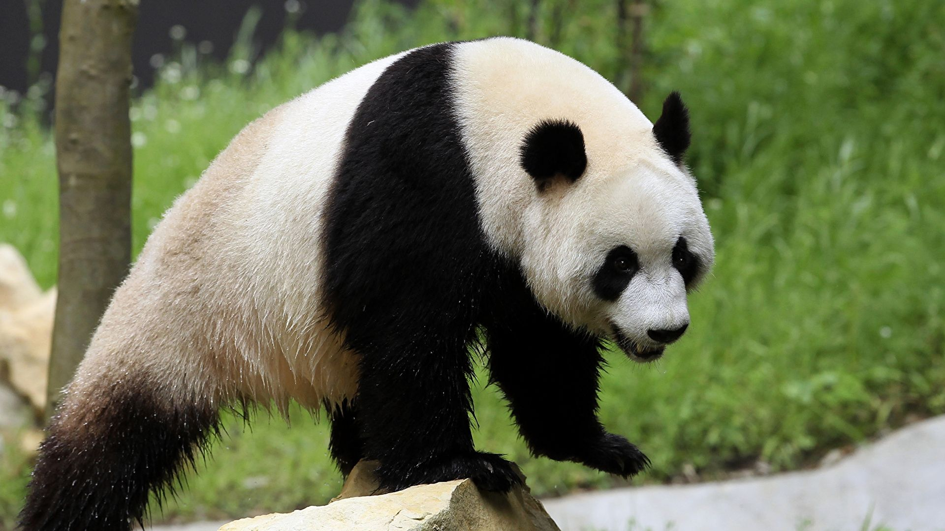 Panda Bear Photo