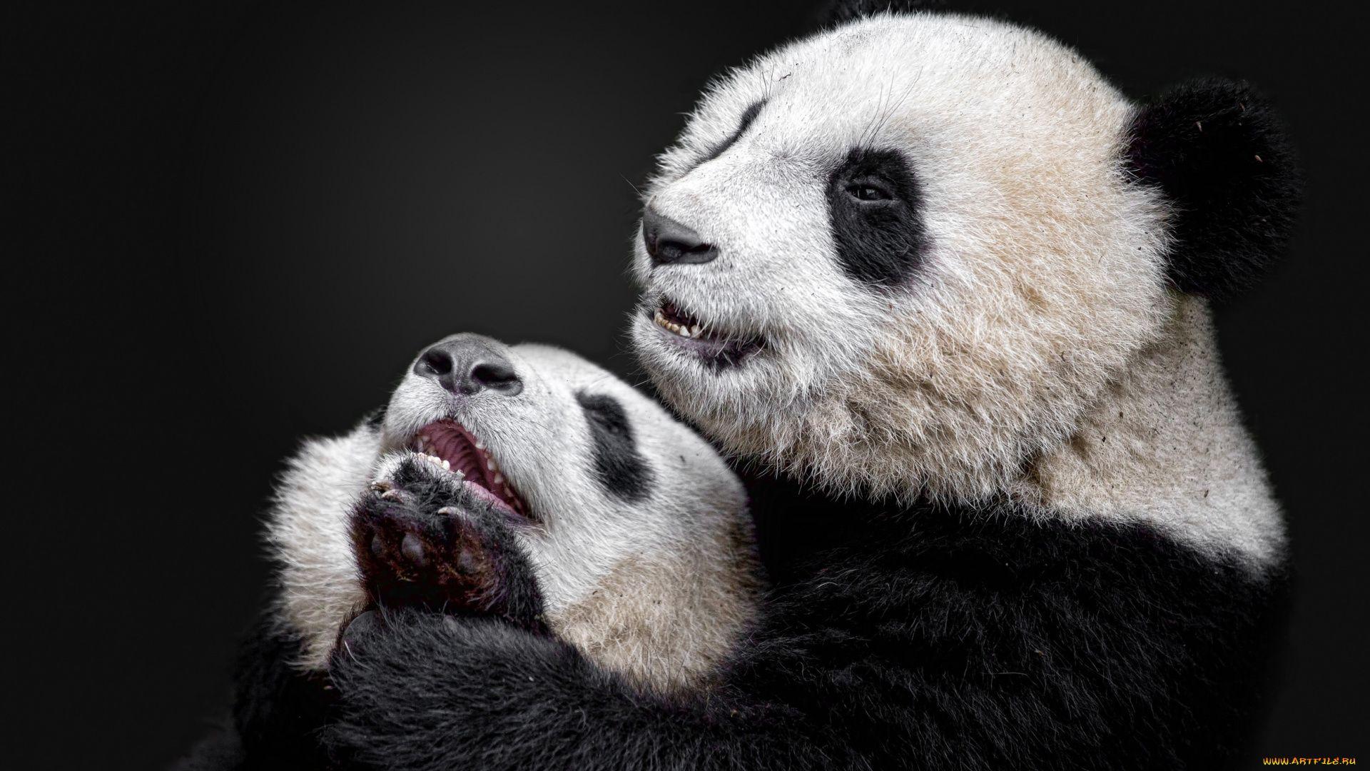 Panda Black And White Photo