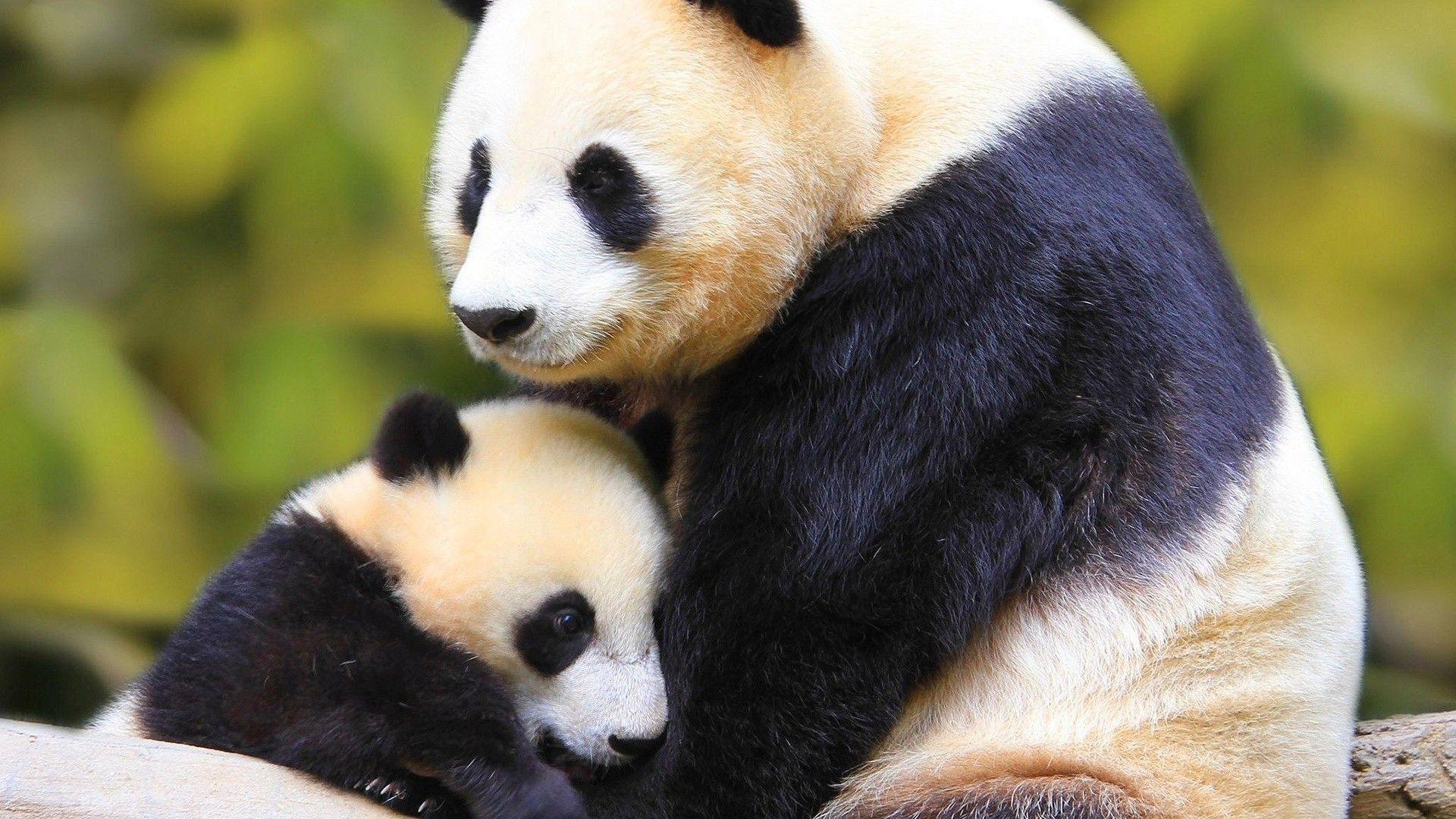 Panda Cub Photos