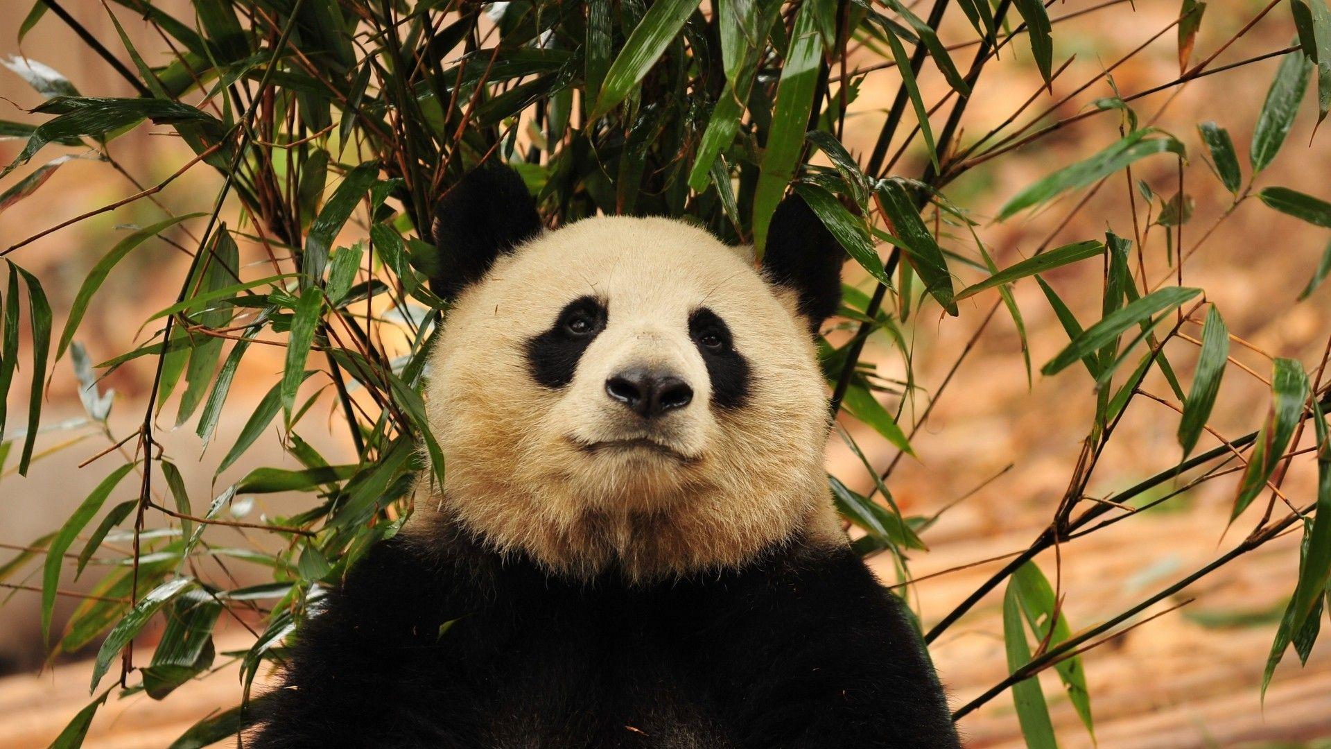 Panda On Bamboo Photos