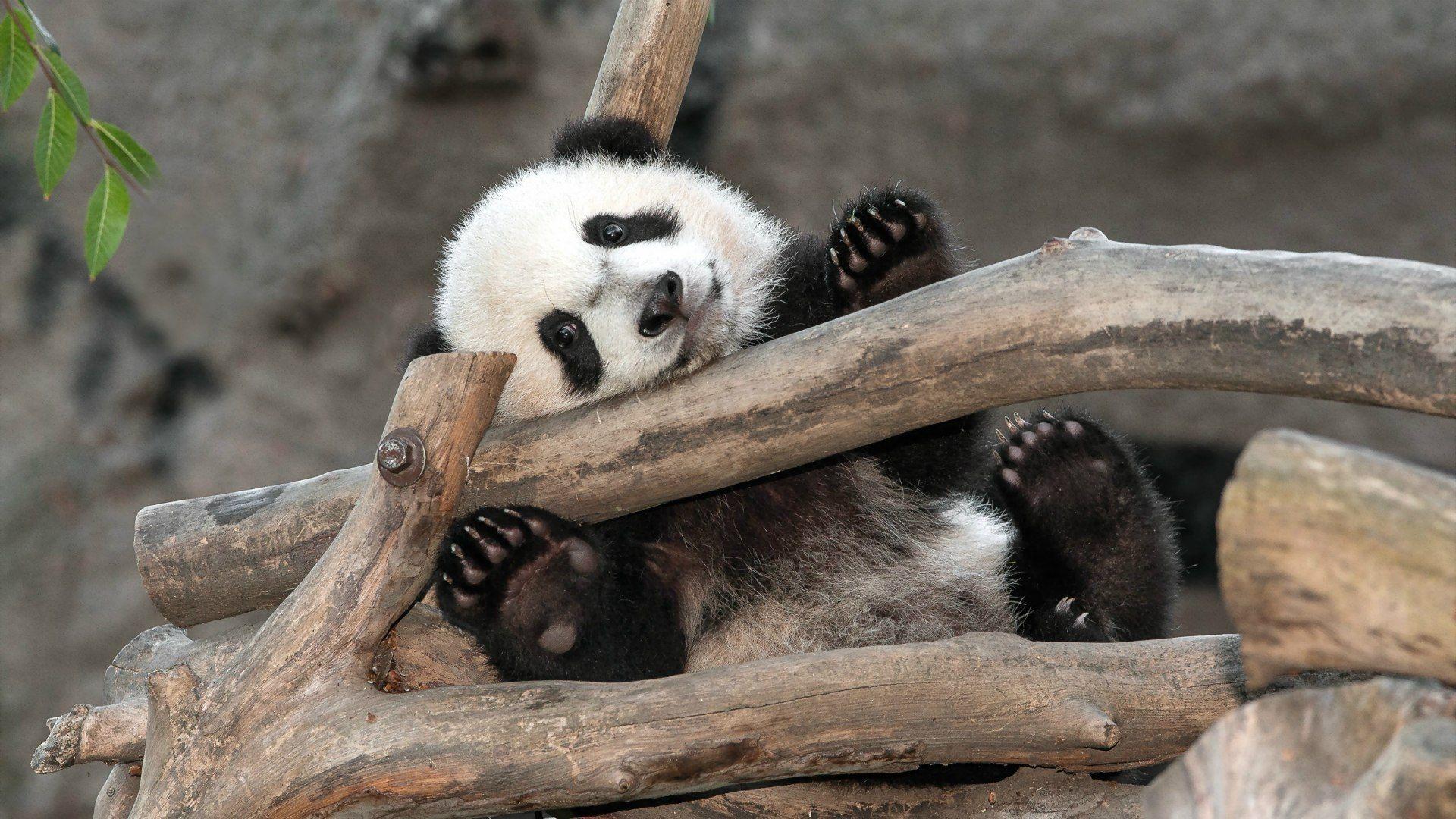 Panda Photos Cute