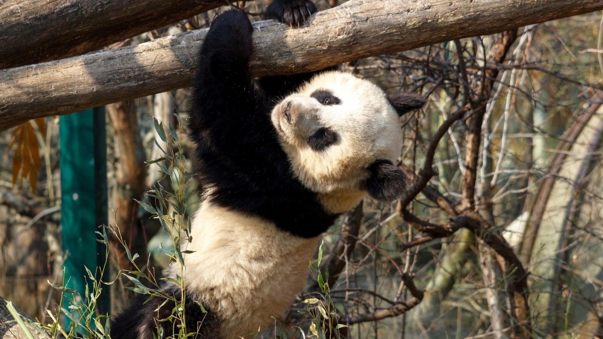 Panda Photos On Desktop