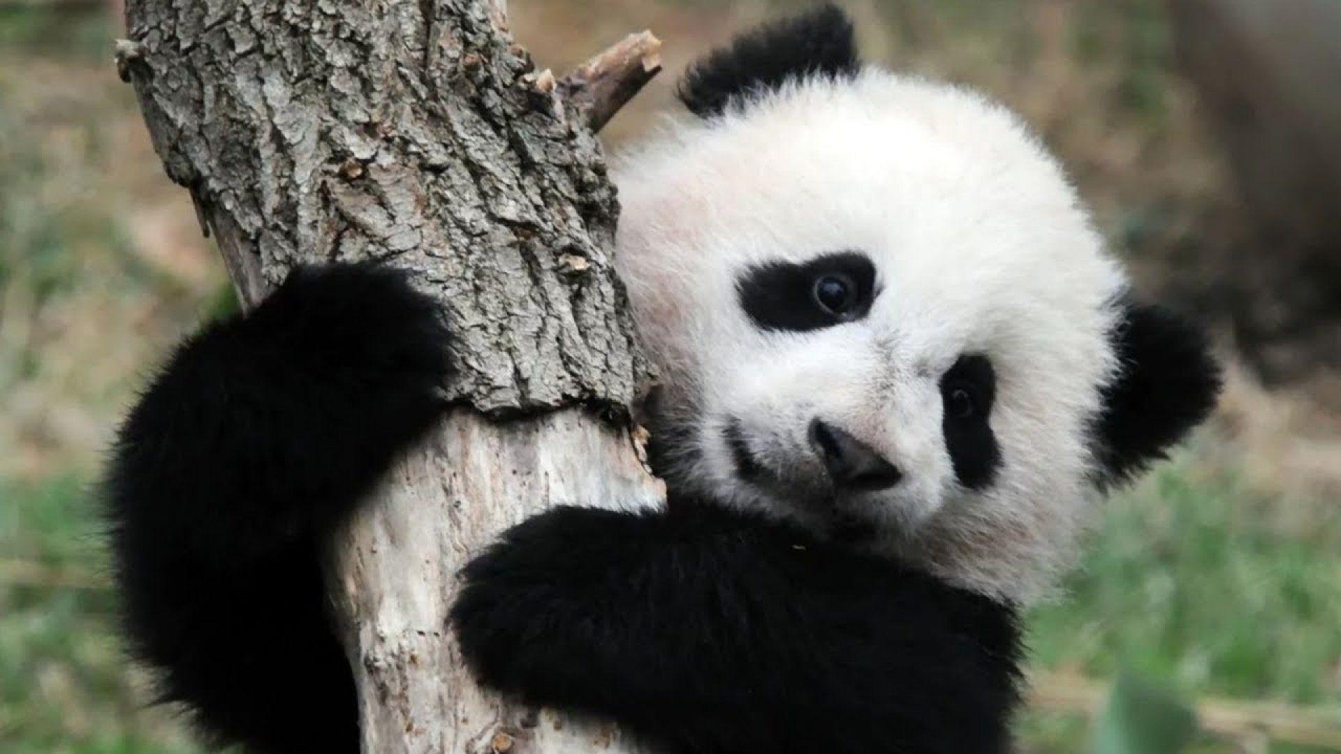 Panda Waves A Paw