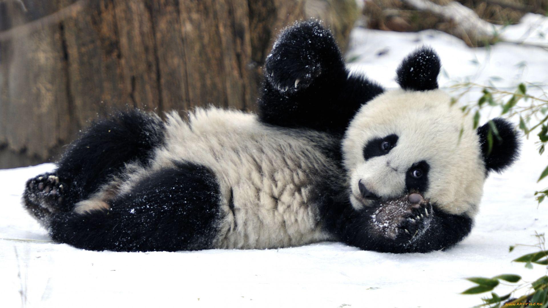 Panda Winter Pictures