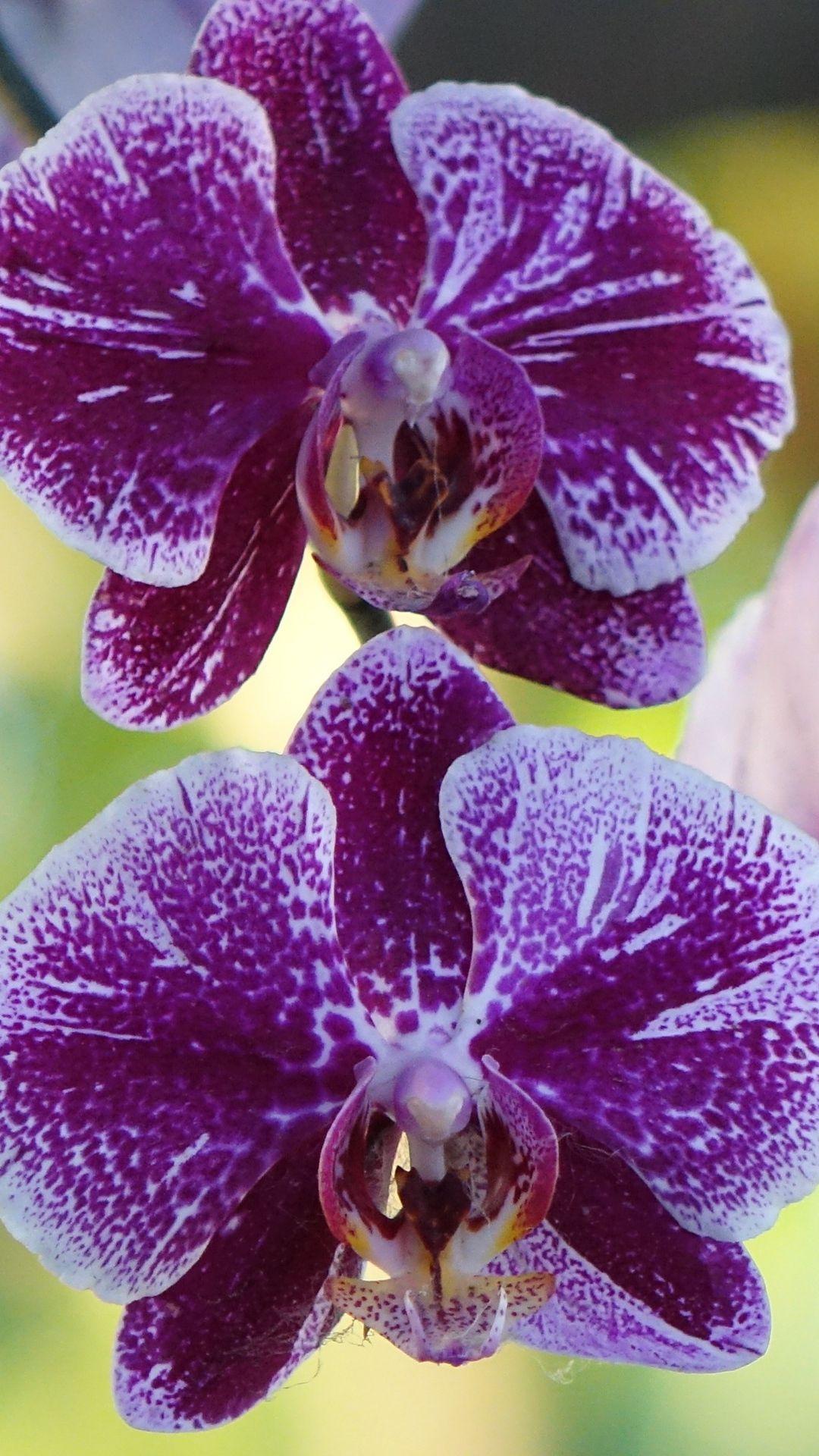 Phalaenopsis Bordeaux