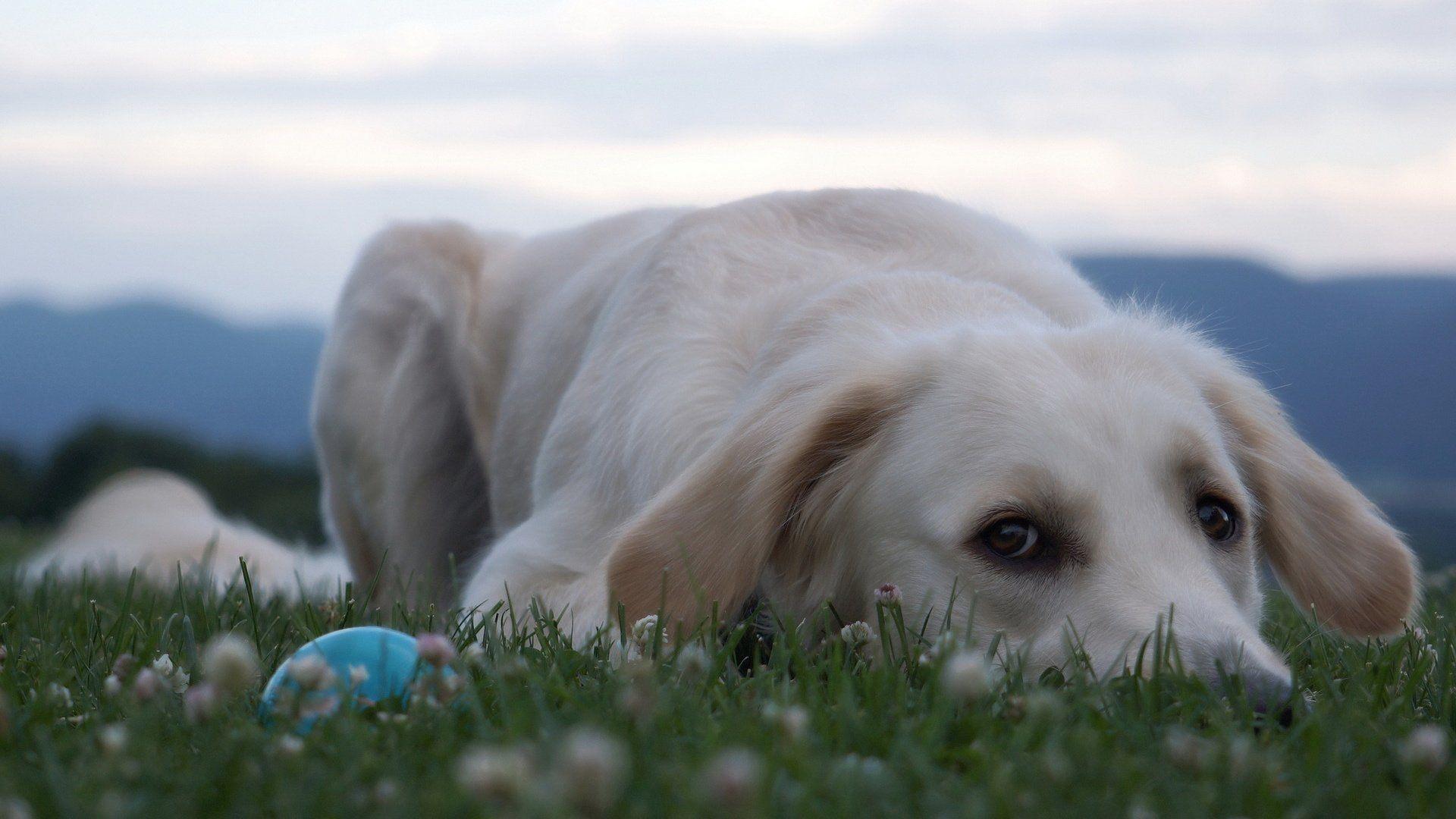 Retriever Photos Dog