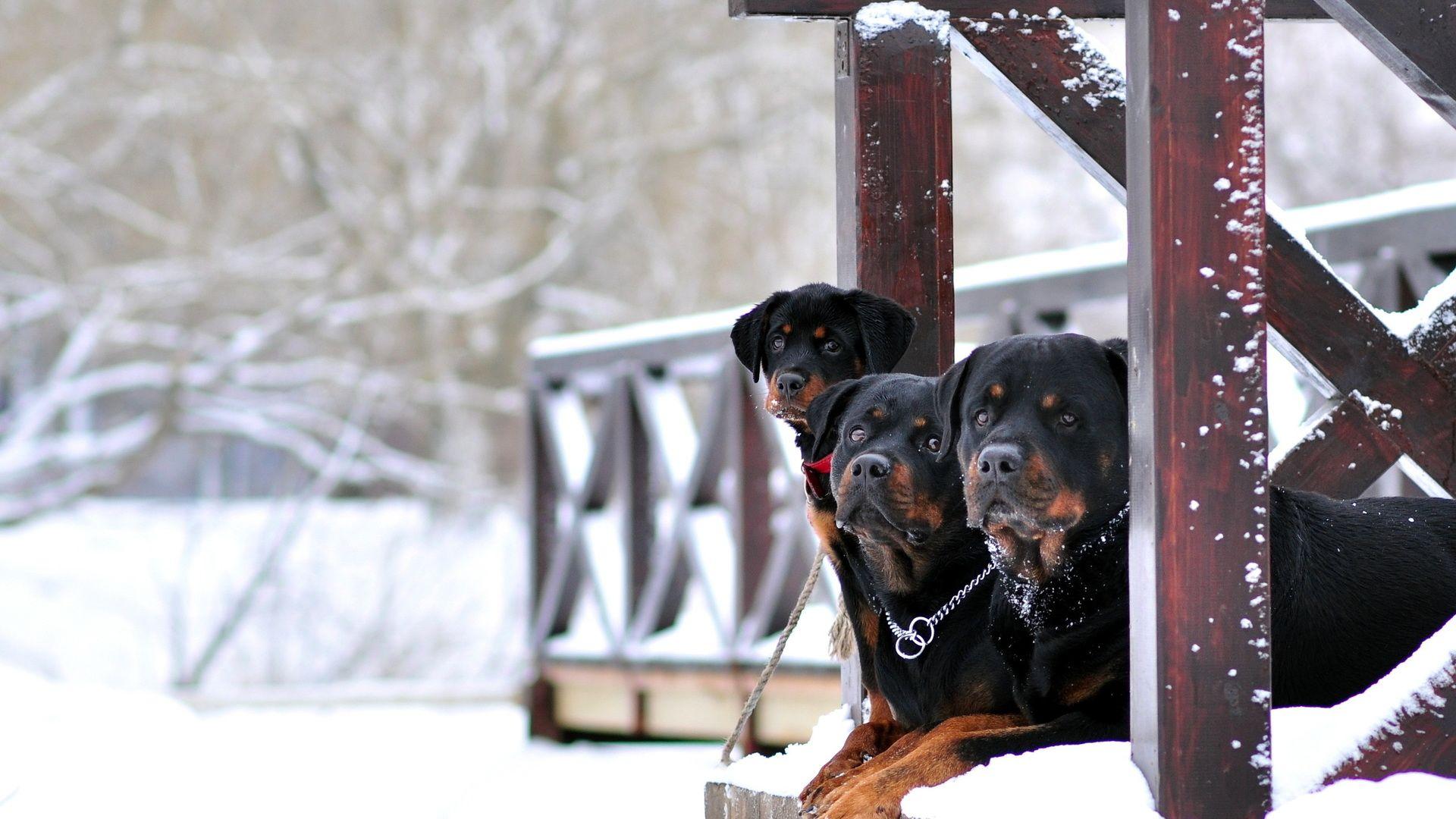 Rottweiler Winter