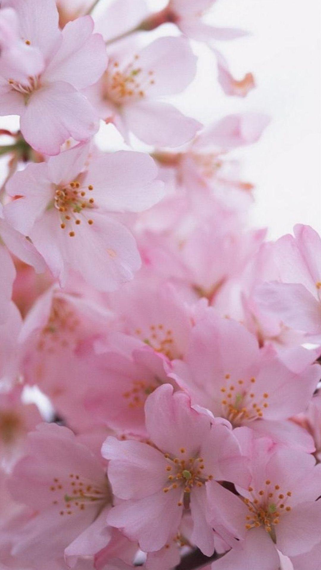 Sakura Wallpaper On The Iphone