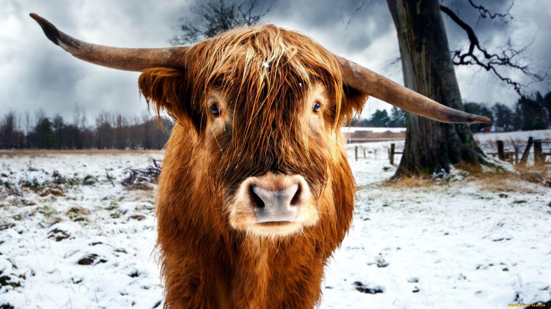 Scottish Cow Photo