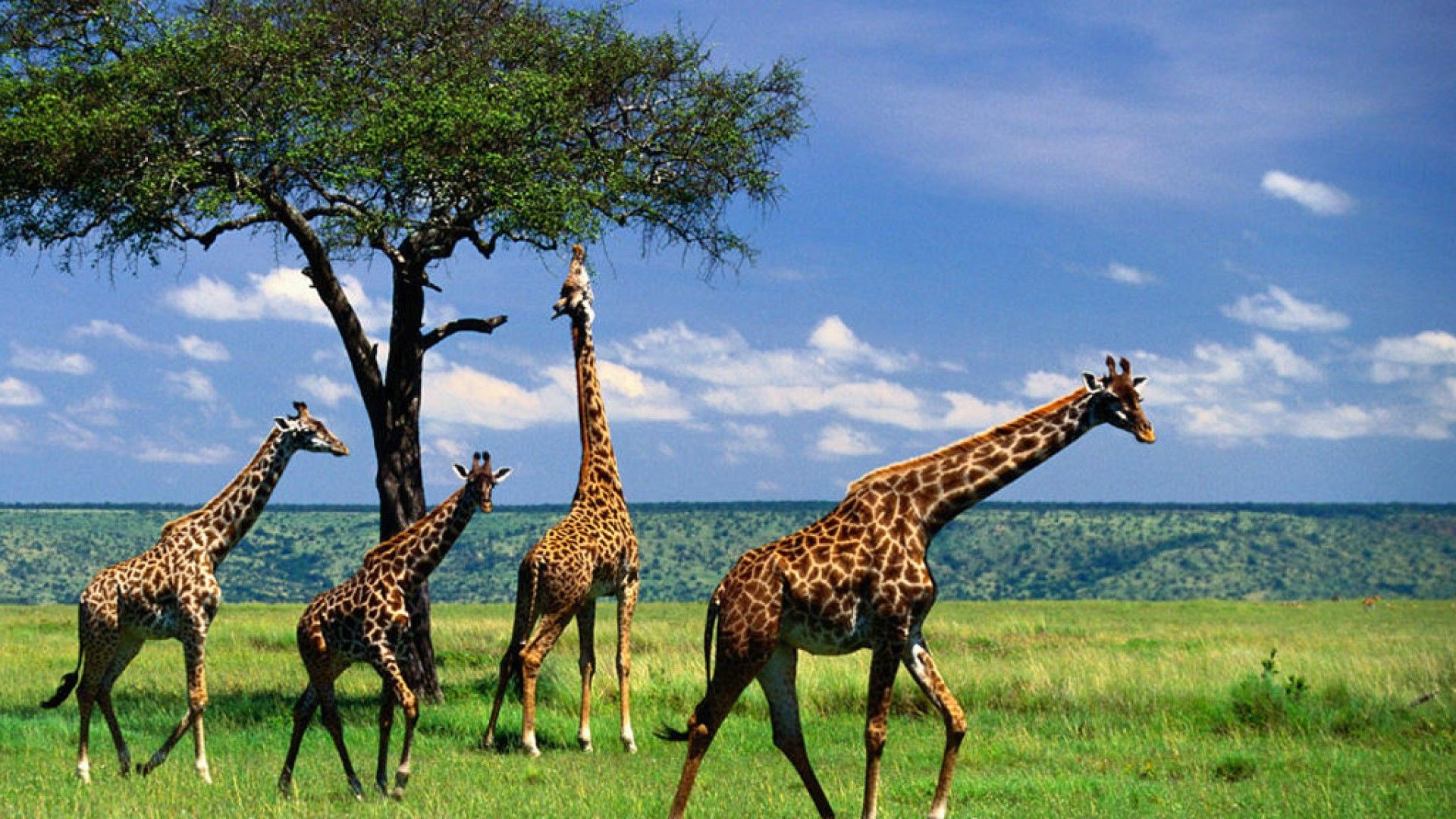 Serengeti National Park Giraffe