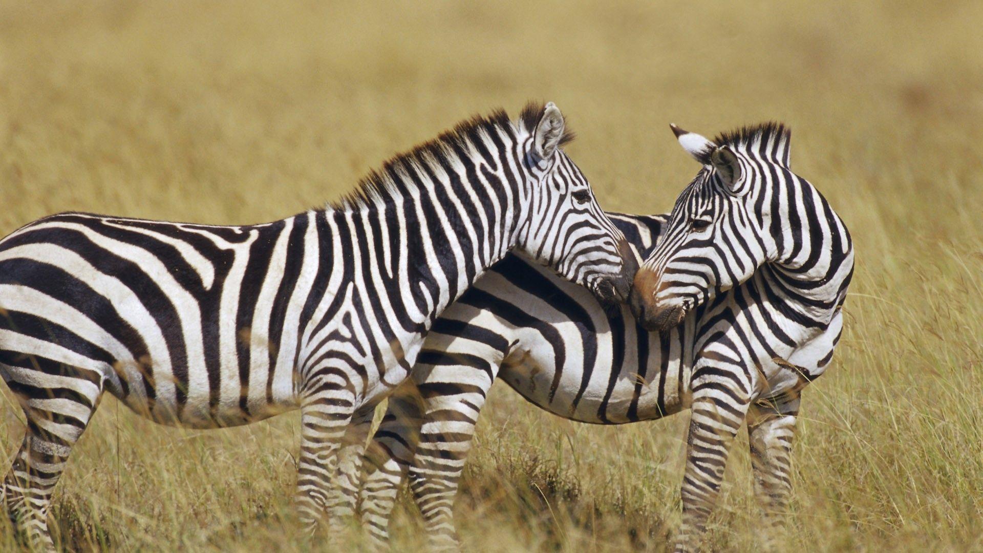 South Barcellona Zebra
