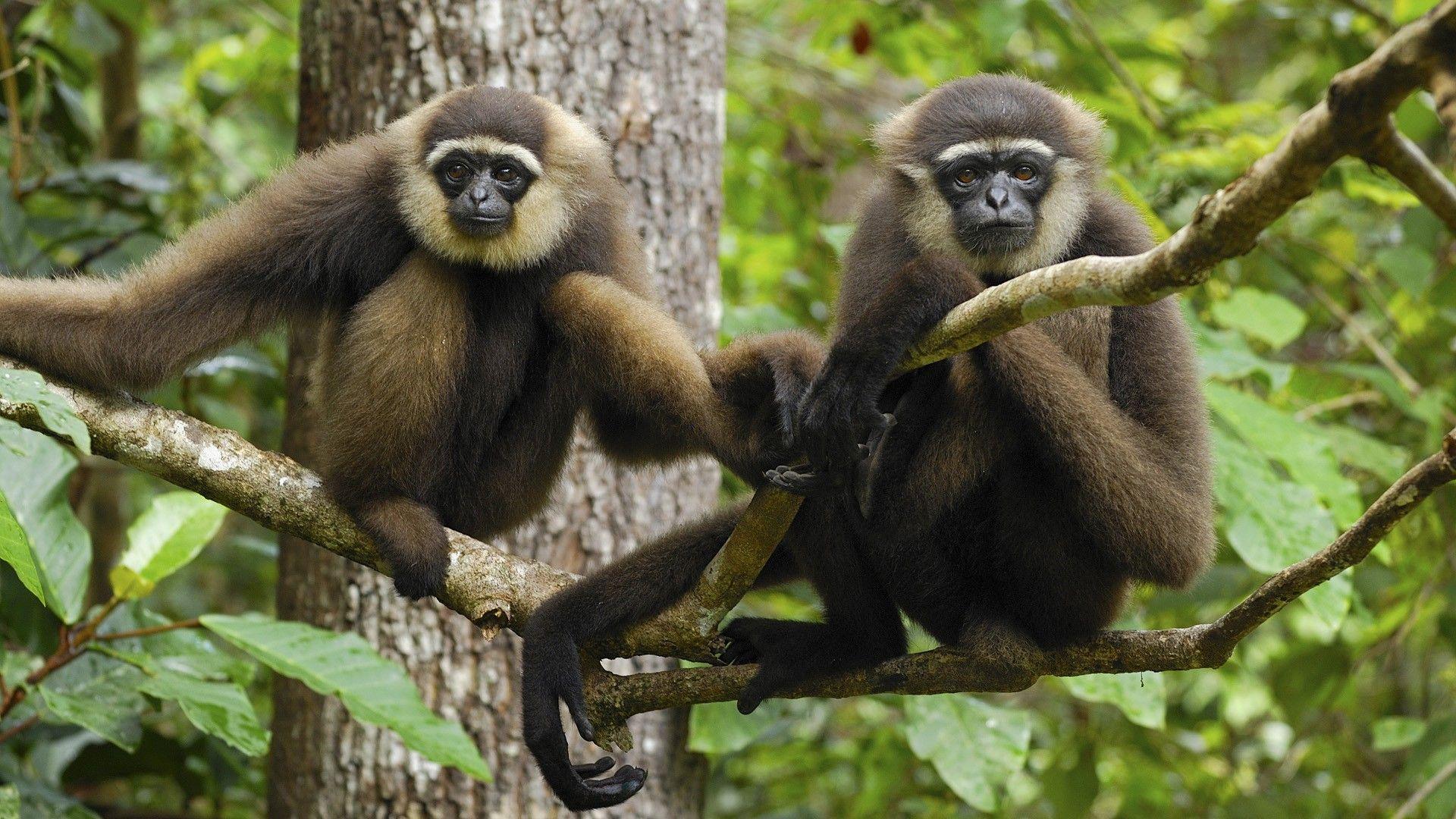 Thai Gibbon
