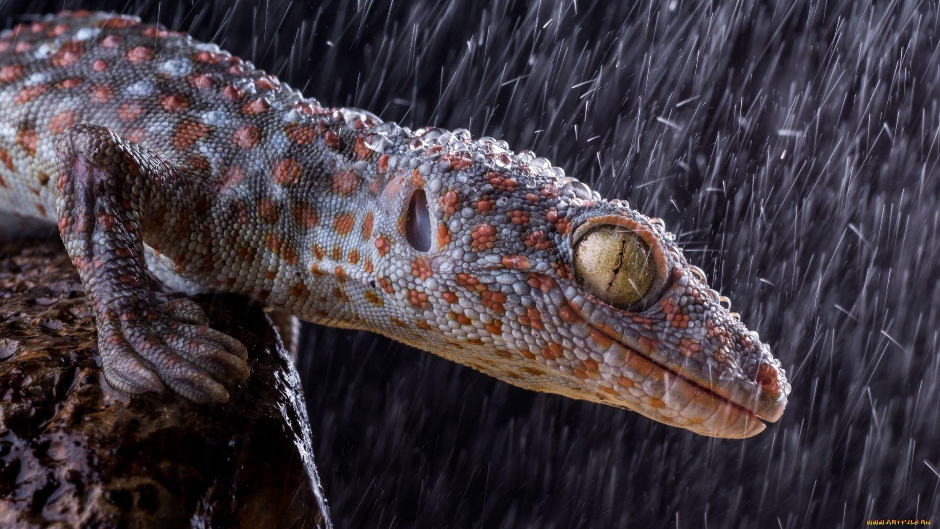 Toki Gecko Gekko Gecko