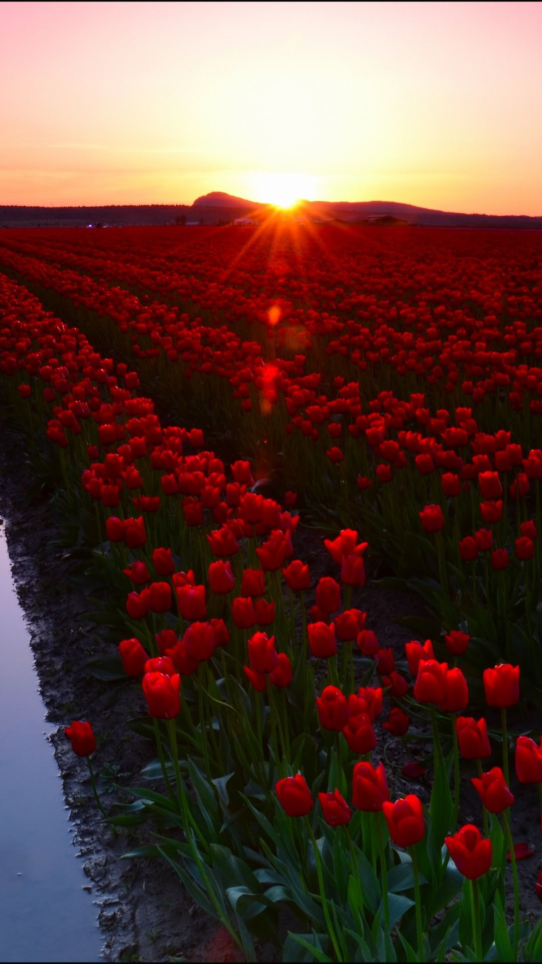 Tulip Fields Of Skagit Valley