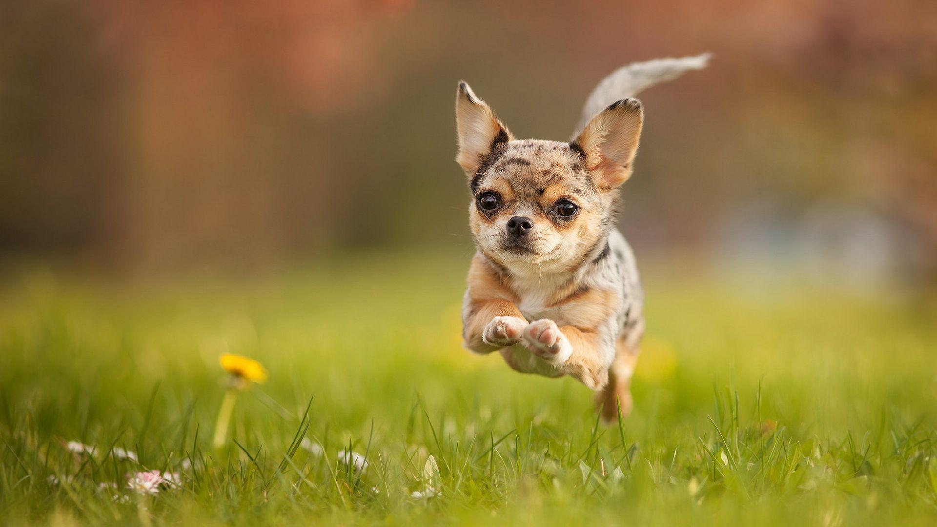 Wallpaper Chihuahua