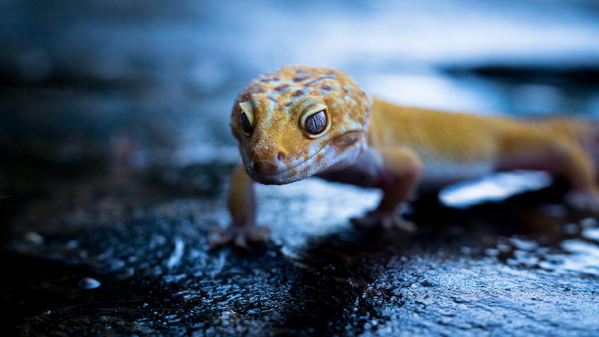 Wallpaper Gecko