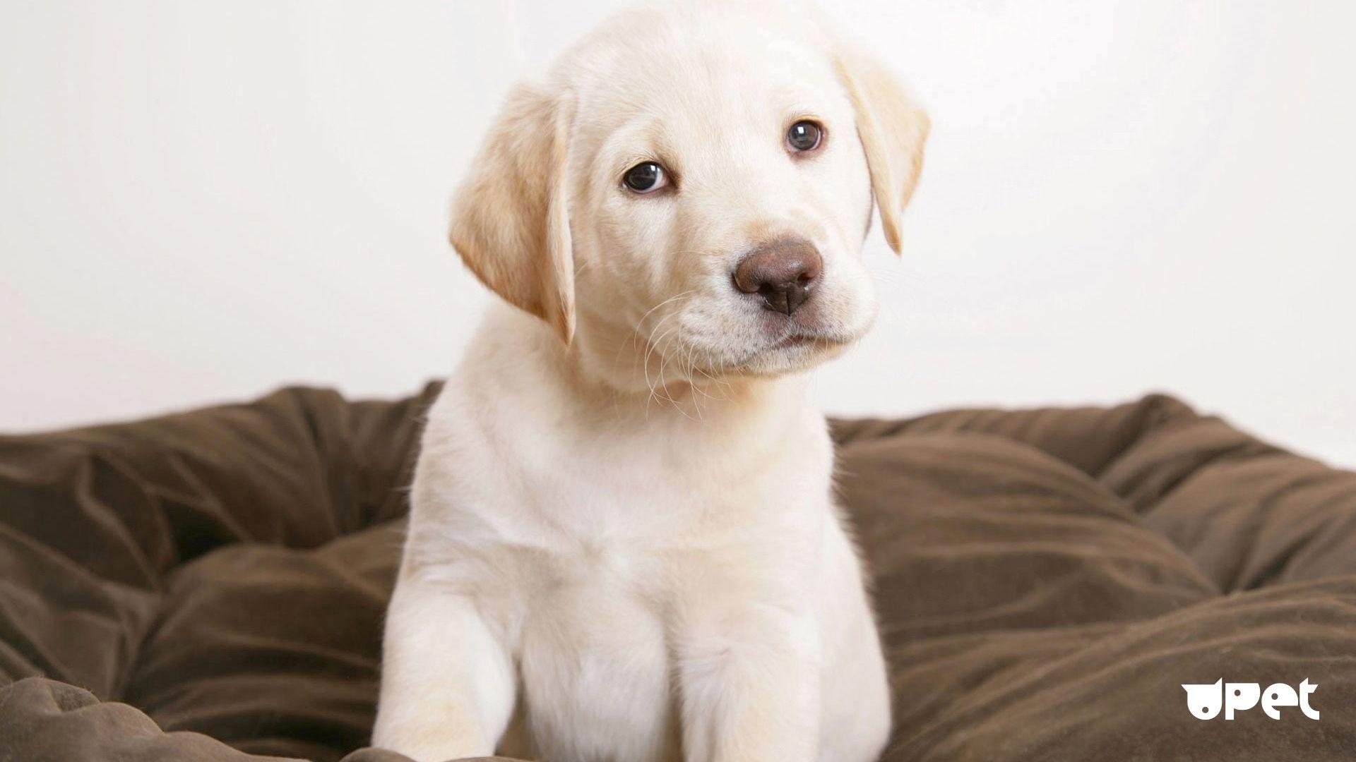 Wallpaper Labrador Puppies