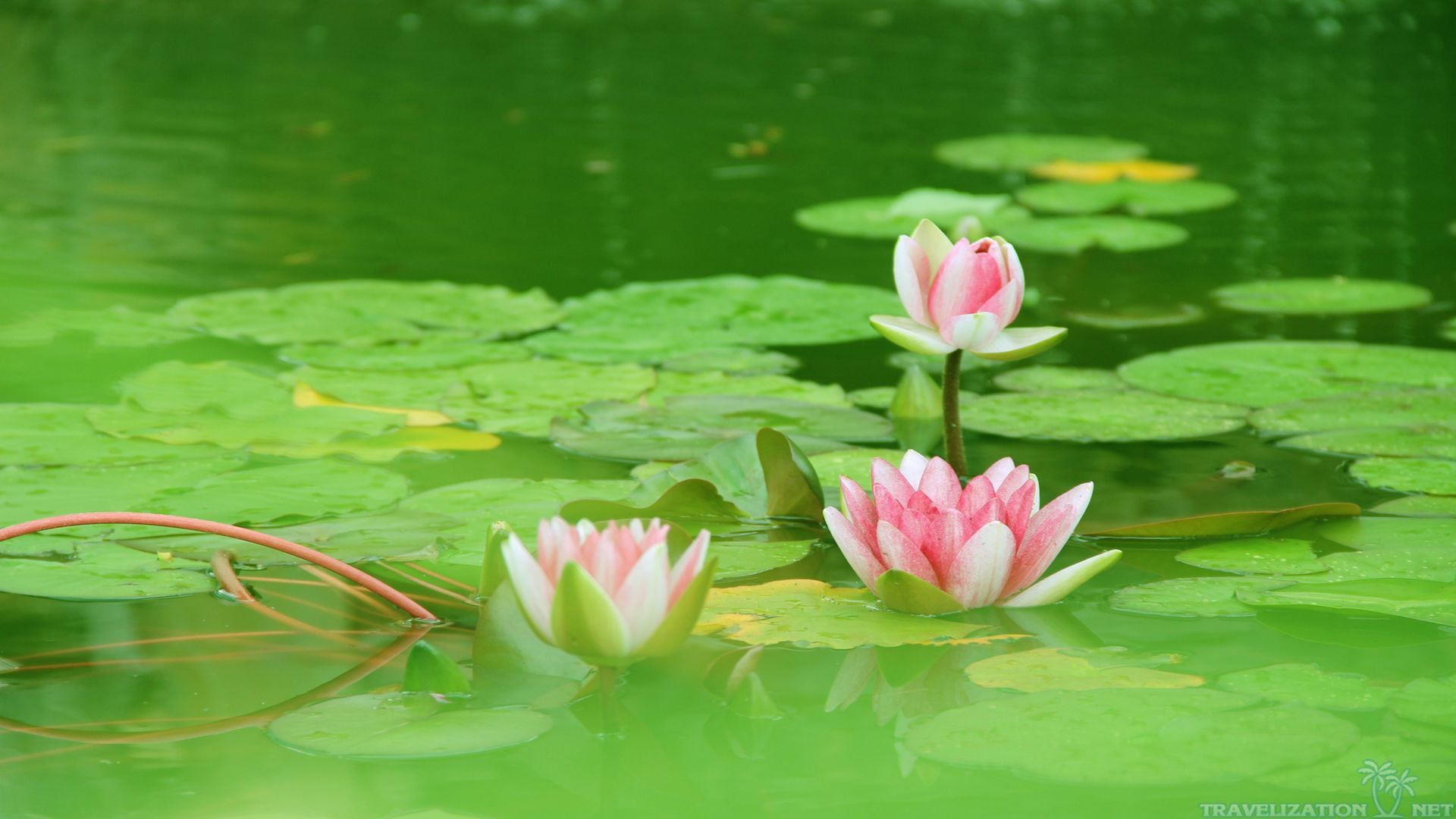Wallpaper Lotus In Water For Android