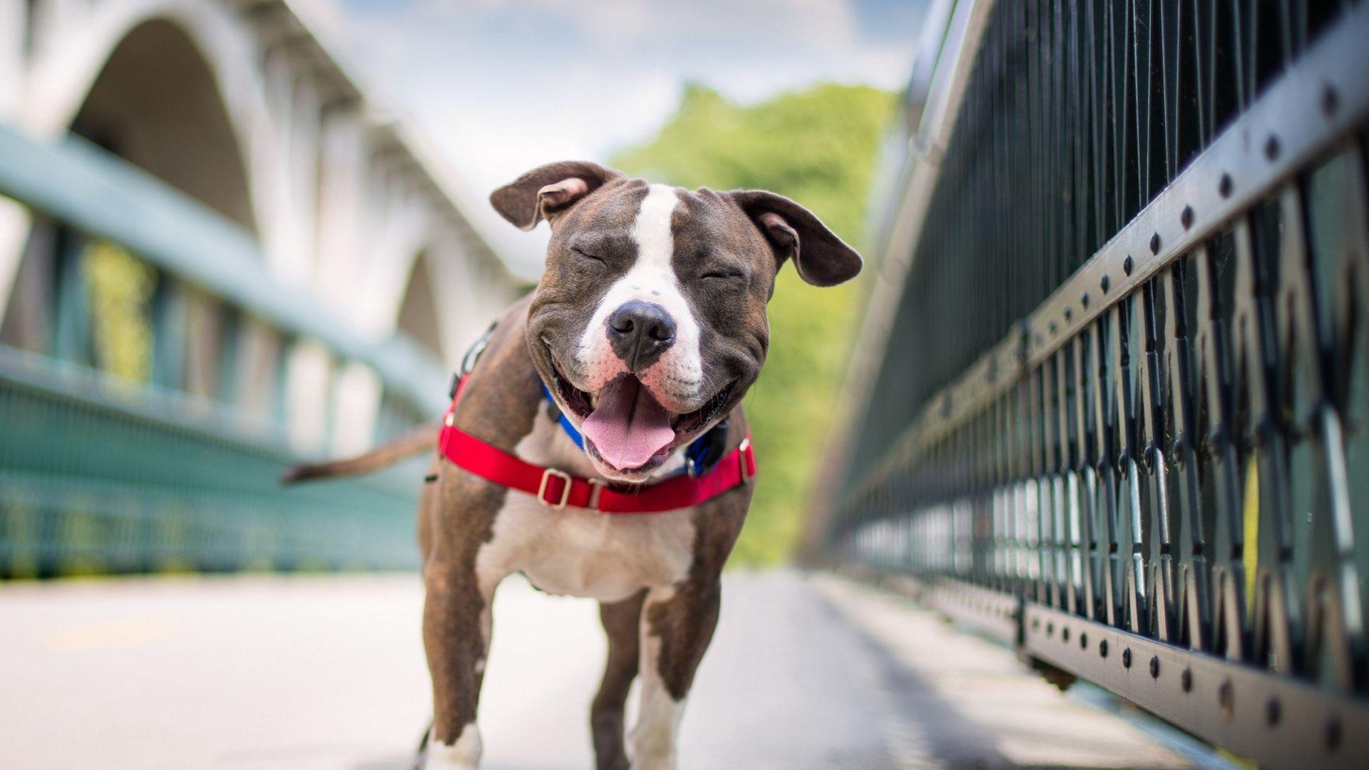Wallpaper Staffordshire Terrier