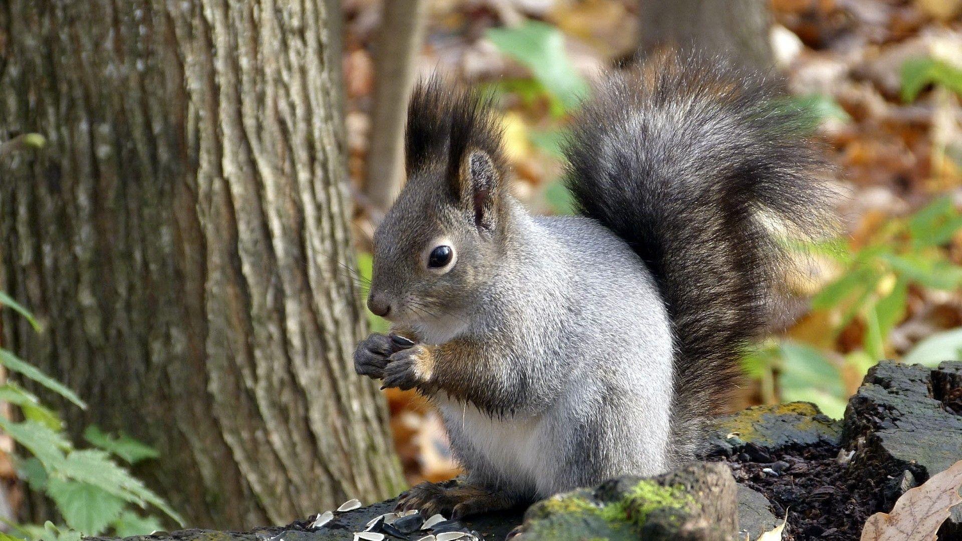 Wallpaper Autumn Squirrel