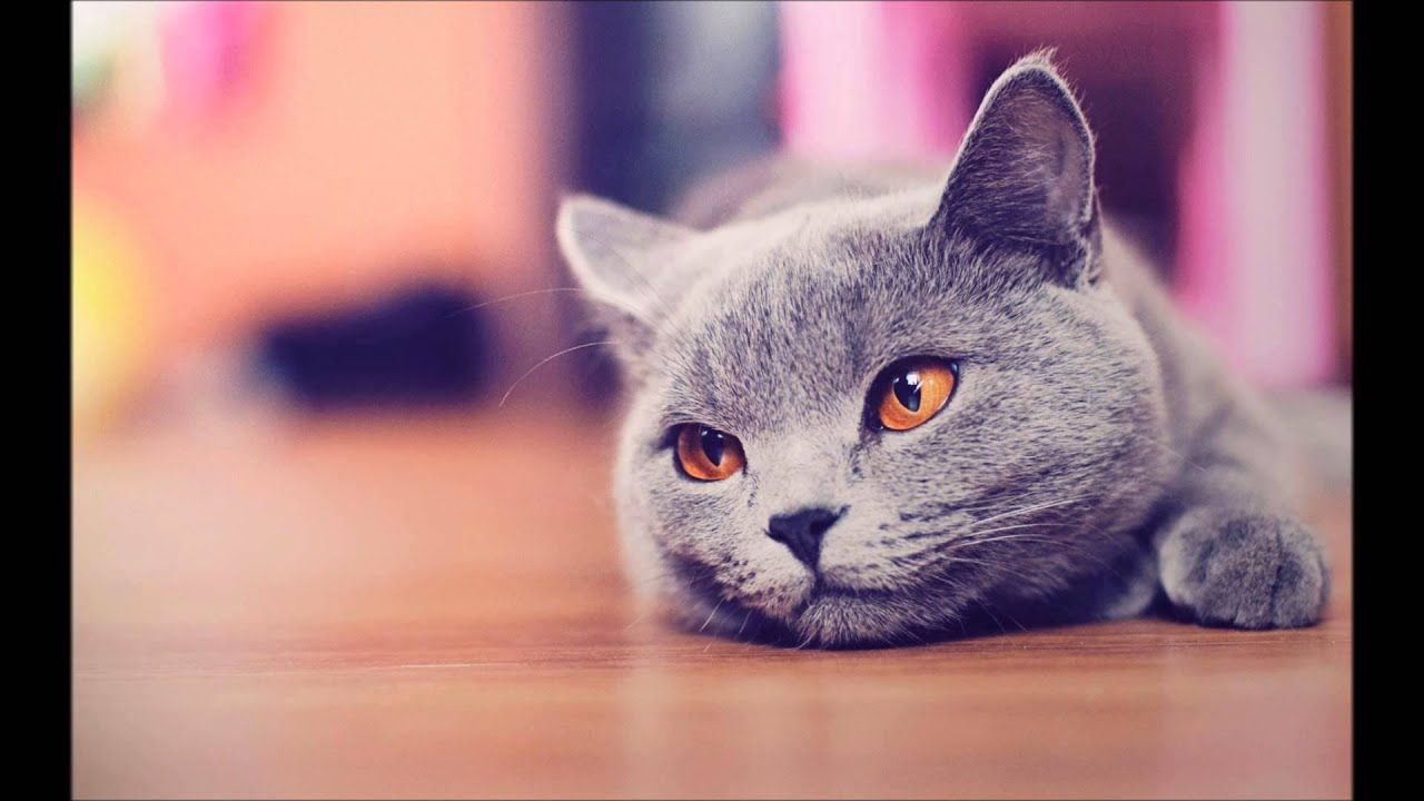 Wallpaper Cat With Blue Eyes Grey