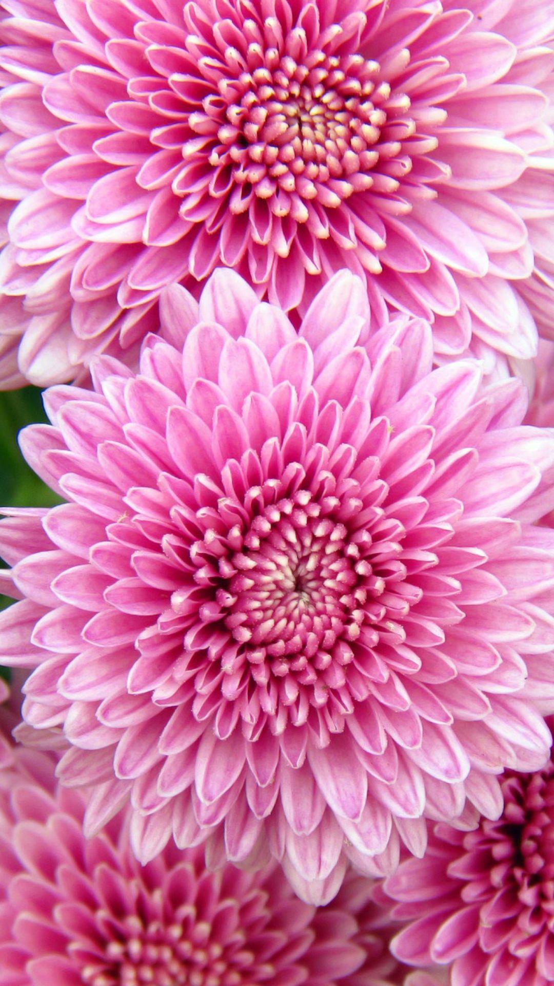 Wallpaper Chrysanthemum