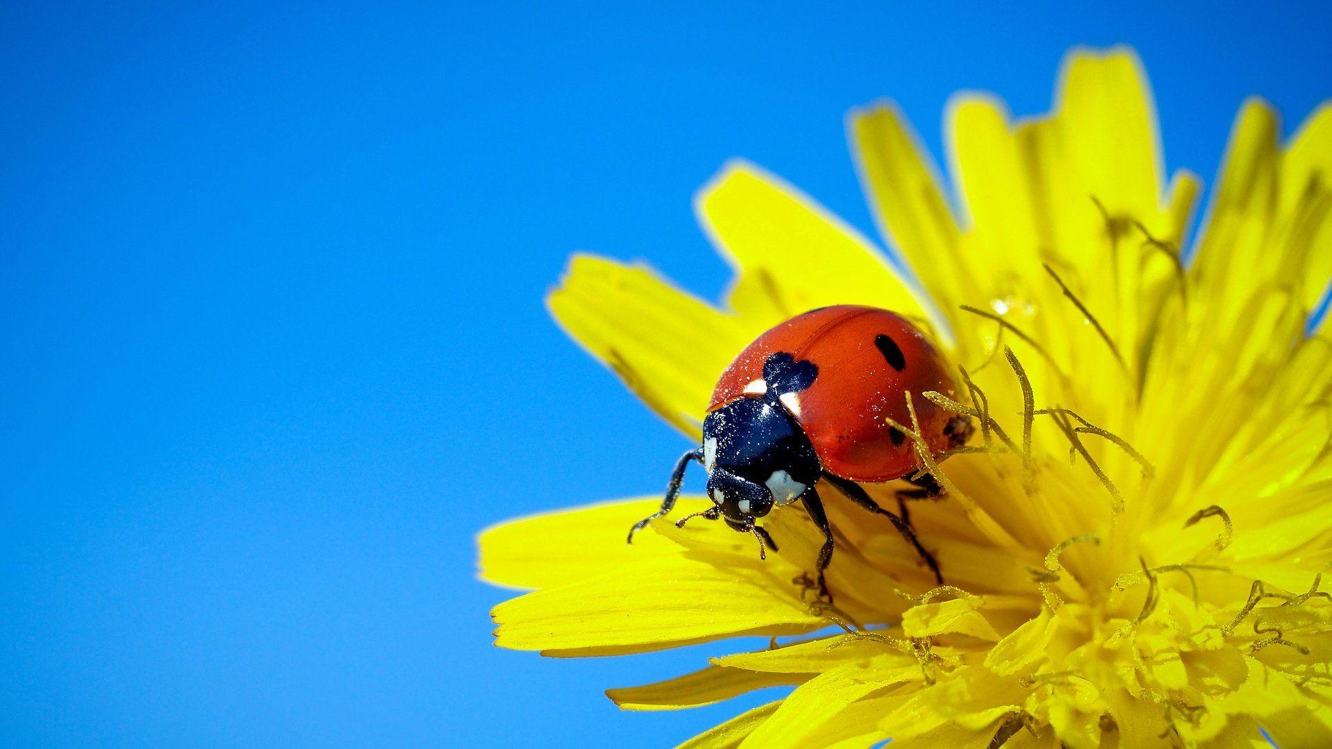 Wallpaper Dandelion With Ladybird 1