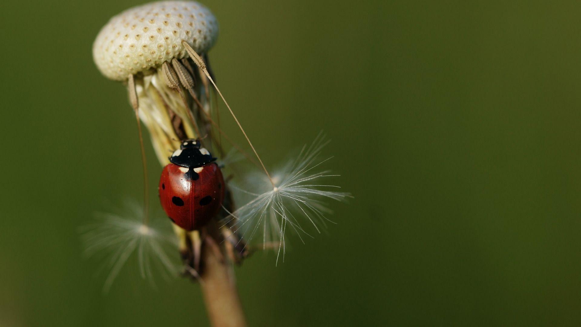 Wallpaper Dandelion With Ladybird