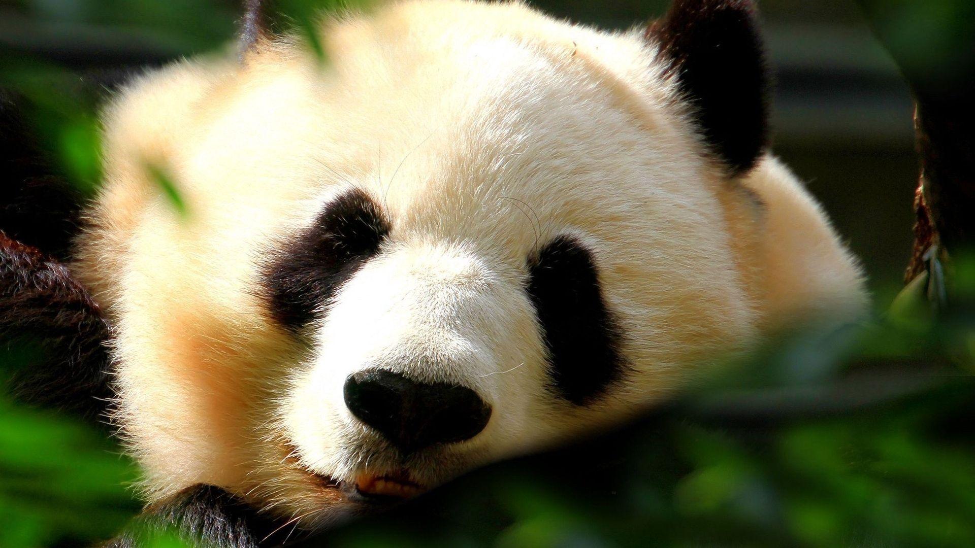 Wallpaper Desktop 1920x1080 Panda