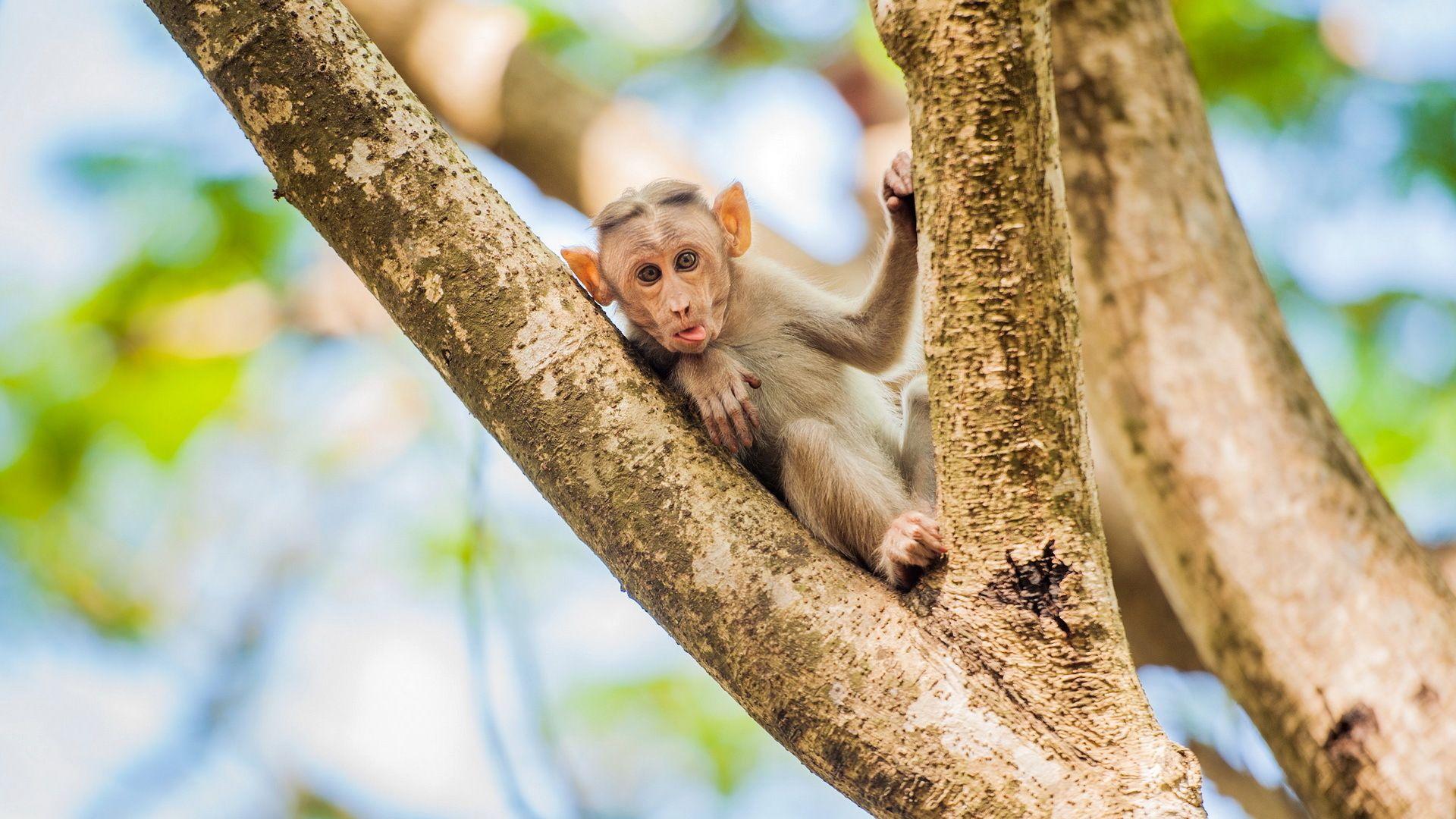 Wallpaper Desktop Monkey
