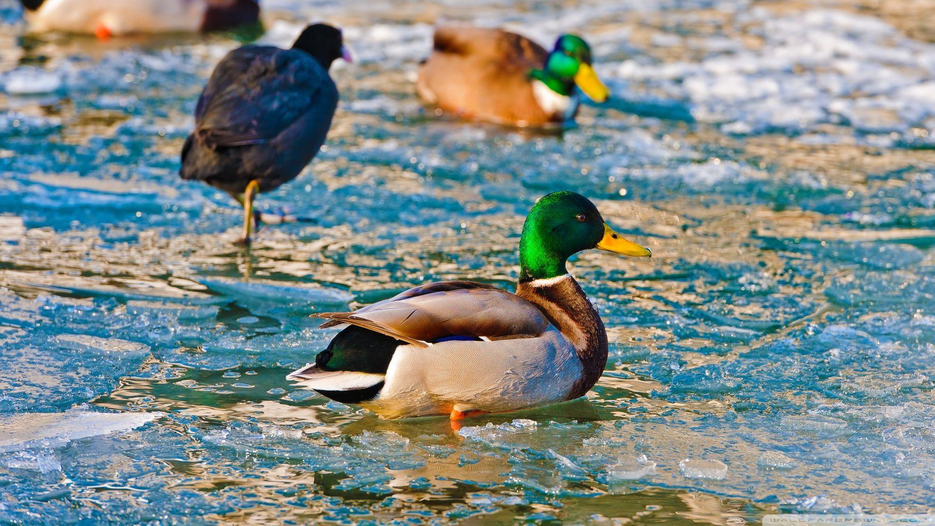 Wallpaper Duck