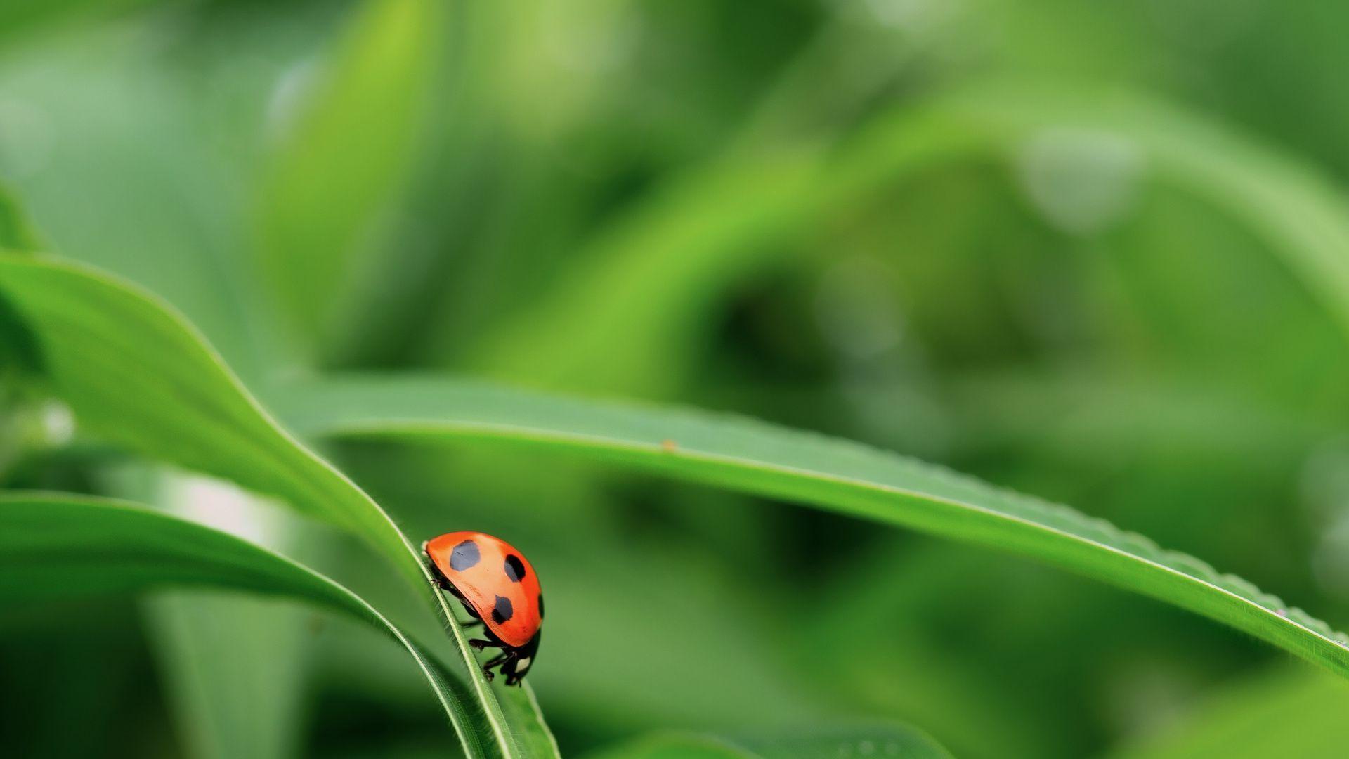 Wallpaper Ladybug 1