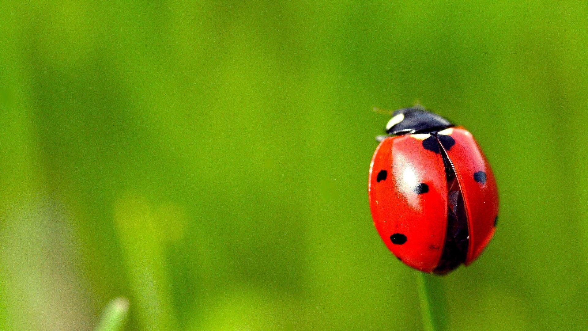 Wallpaper Ladybug 2