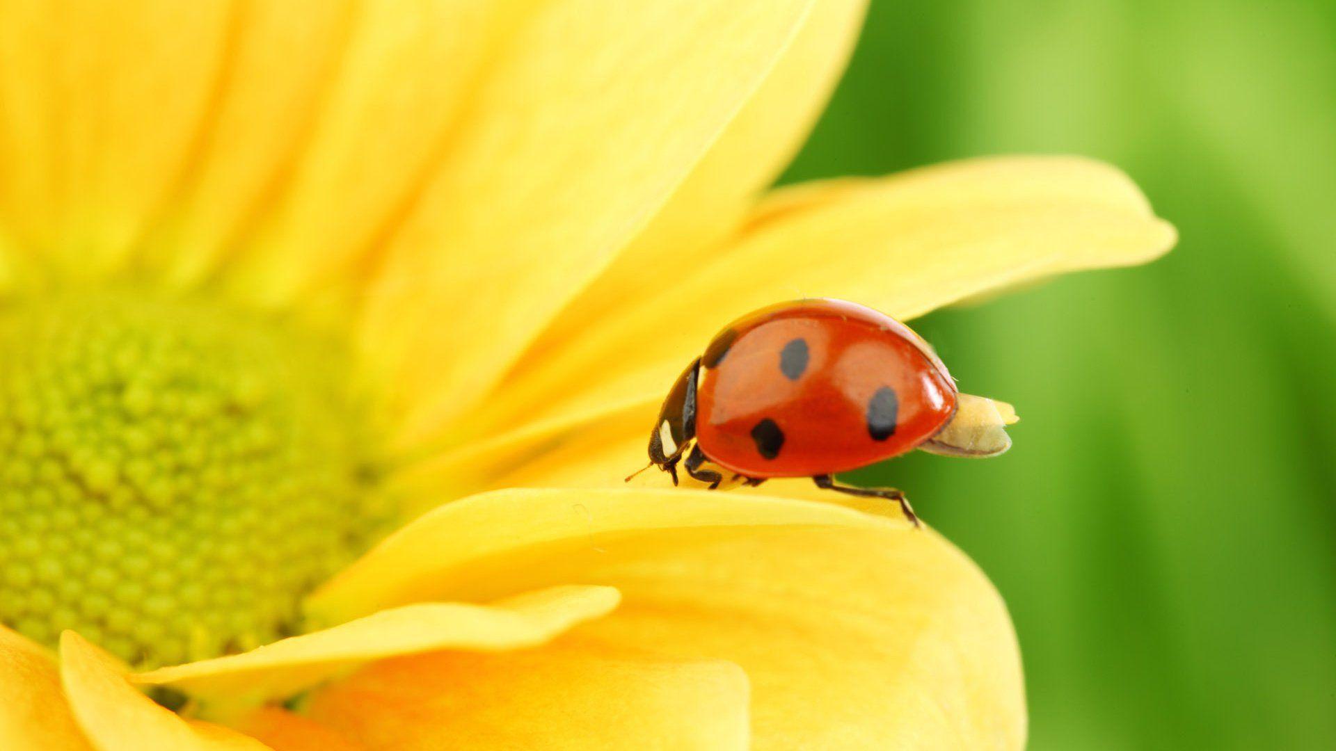 Wallpaper Ladybug