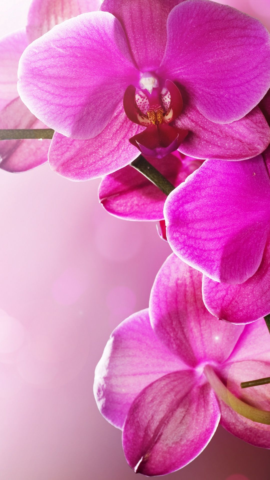 Wallpaper Vertical Orchid Pink