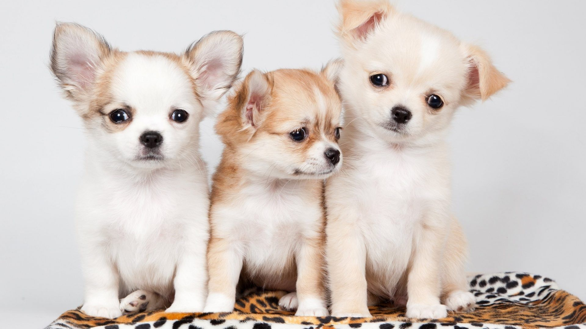 Wallpapers Dogs Chihuahua