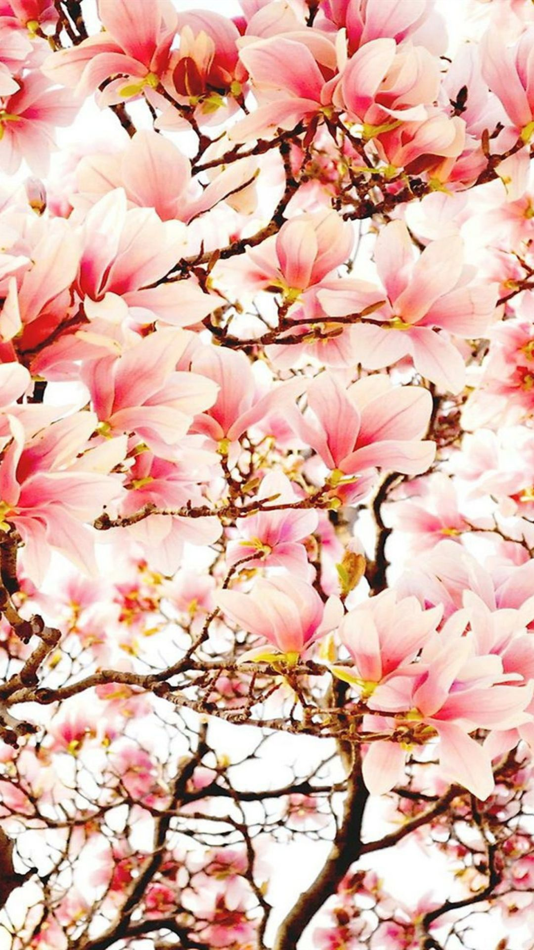 Wallpapers For Smartphone Magnolia Flowers