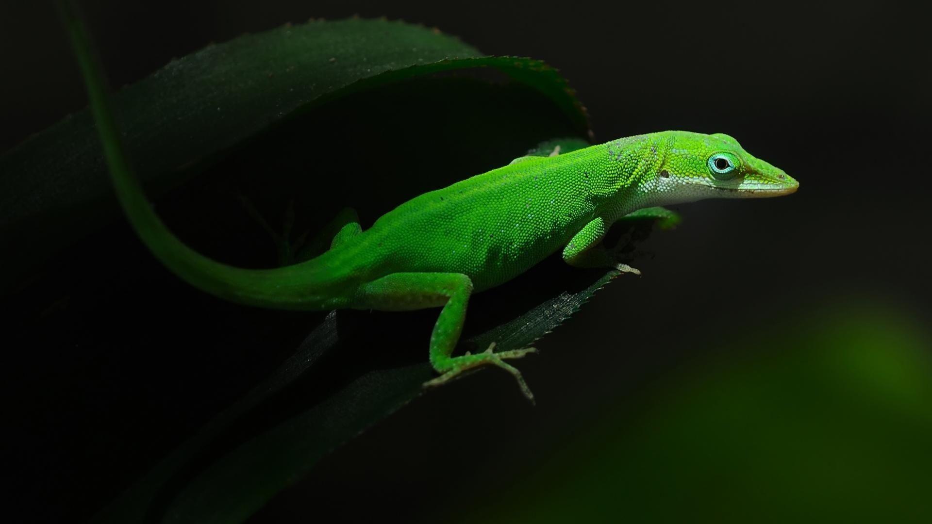 Wallpapers Green Lizard